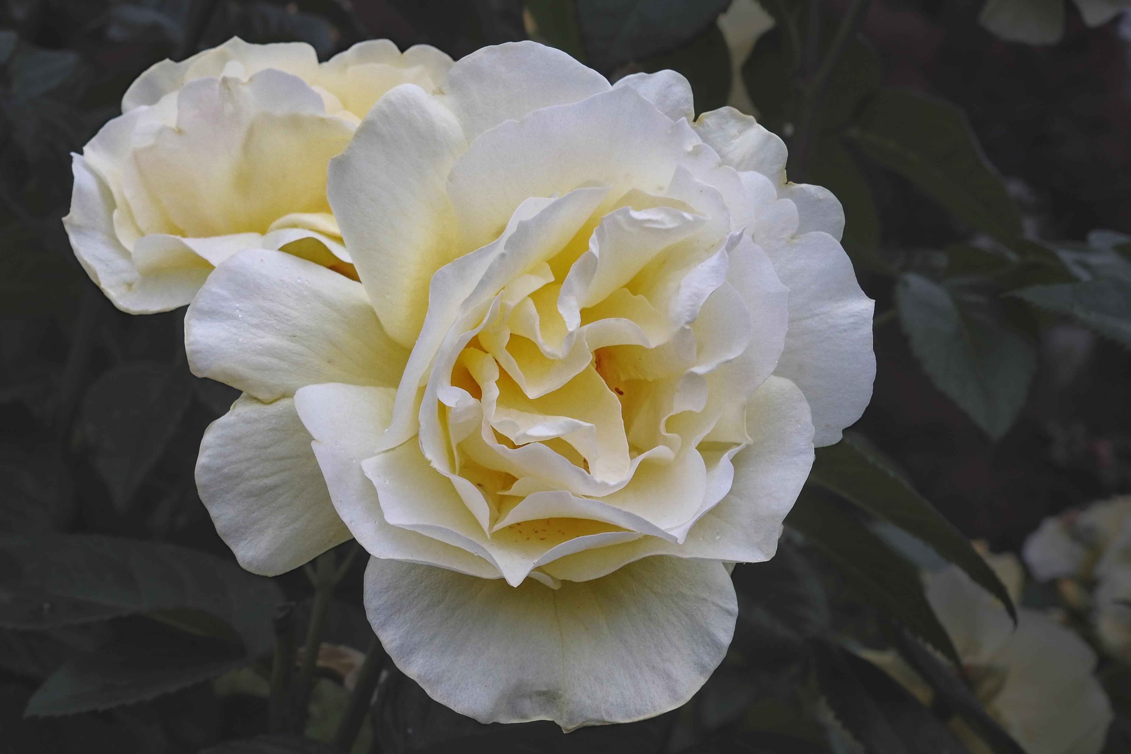 Images Gratuites Fleur Blanc Petale Floraison Jaune Flore