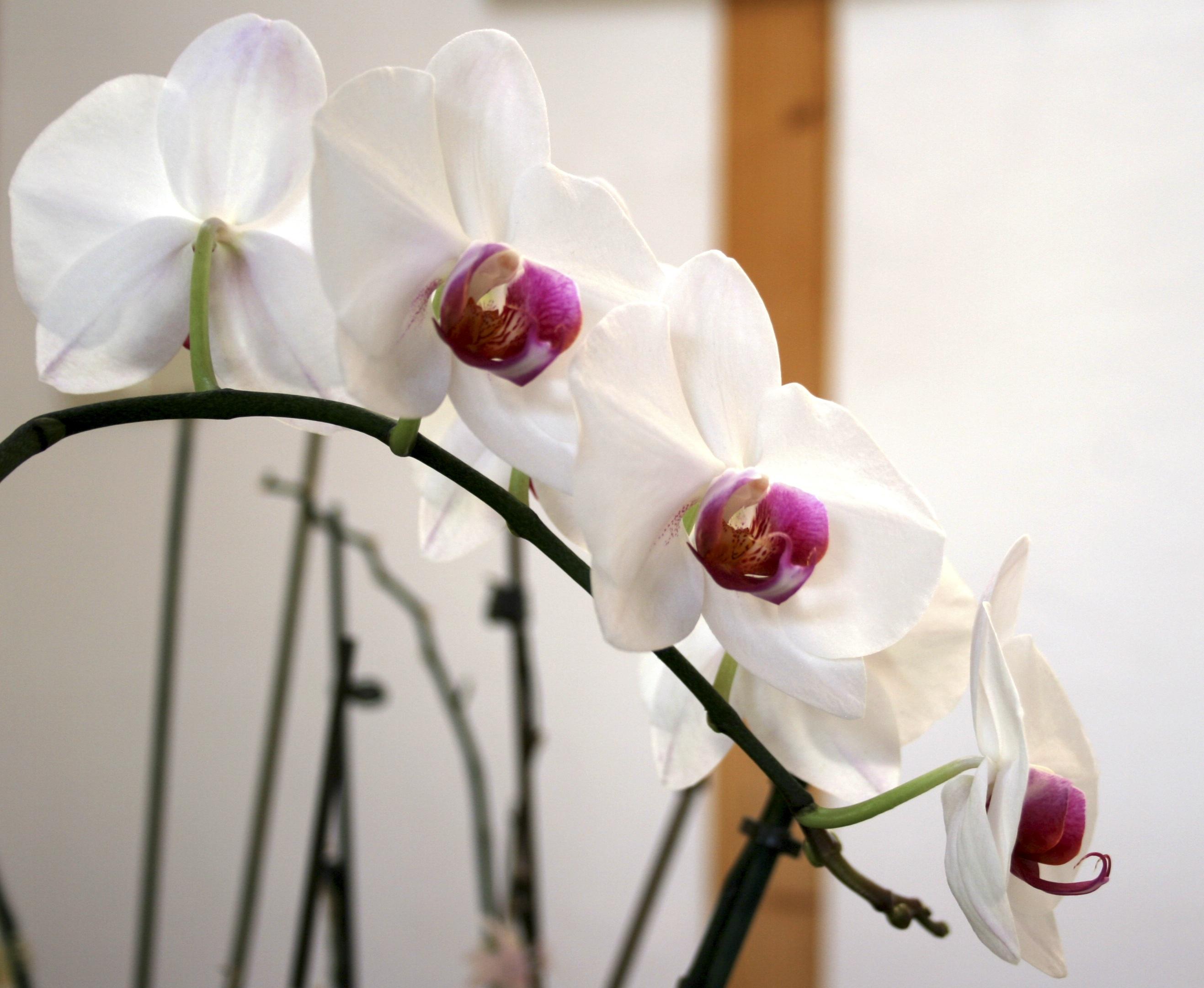 Орхидея джулия фото
