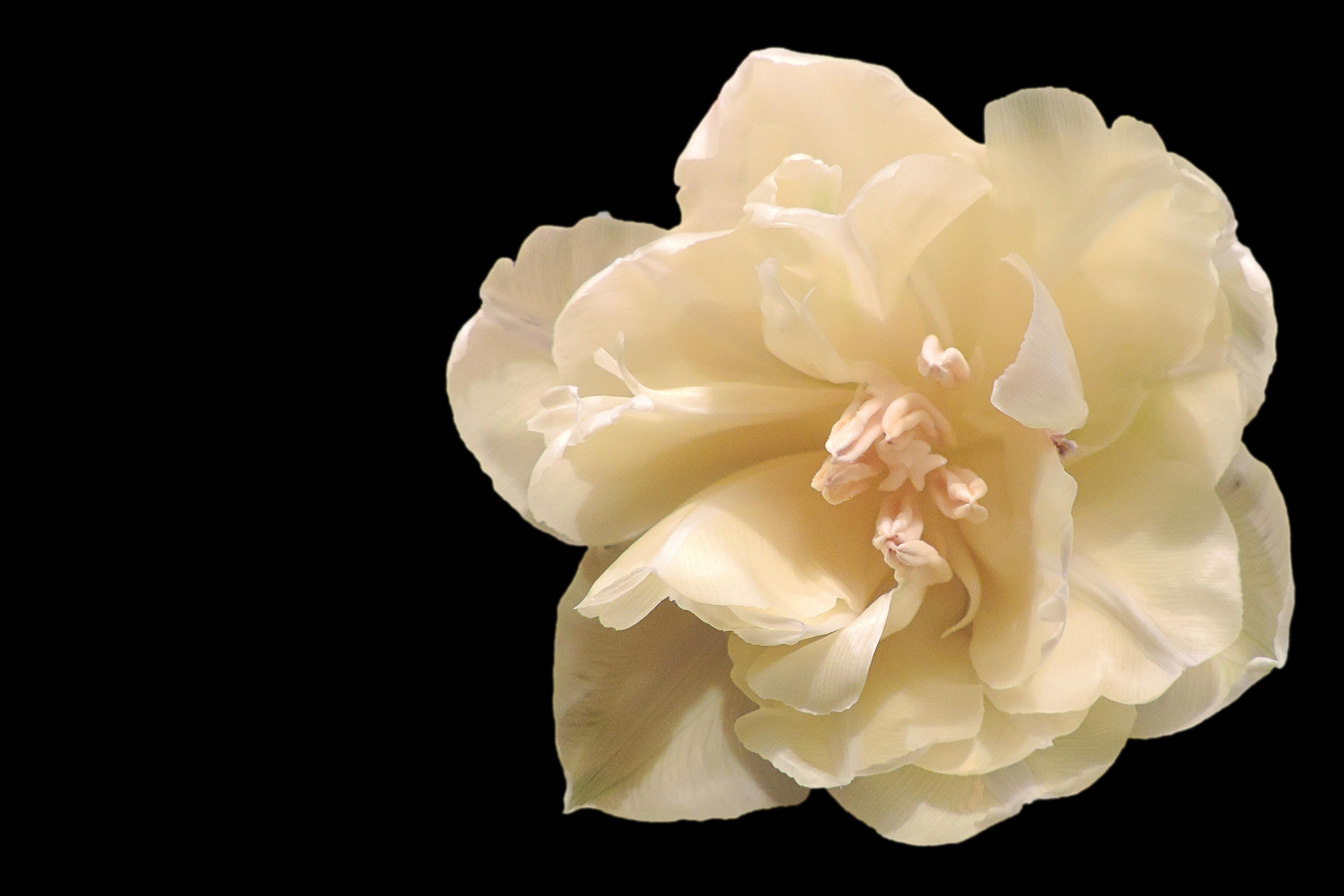 Free images blossom white flower petal bloom tulip yellow blossom plant white flower petal bloom tulip rose yellow peony gardenia macro photography flowering plant garden mightylinksfo
