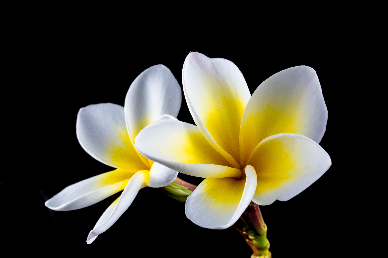 Free images blossom white petal bloom yellow flora close up free images blossom white petal bloom yellow flora close up petals beautiful crocus exotic apocynaceae macro photography ornamental plant izmirmasajfo