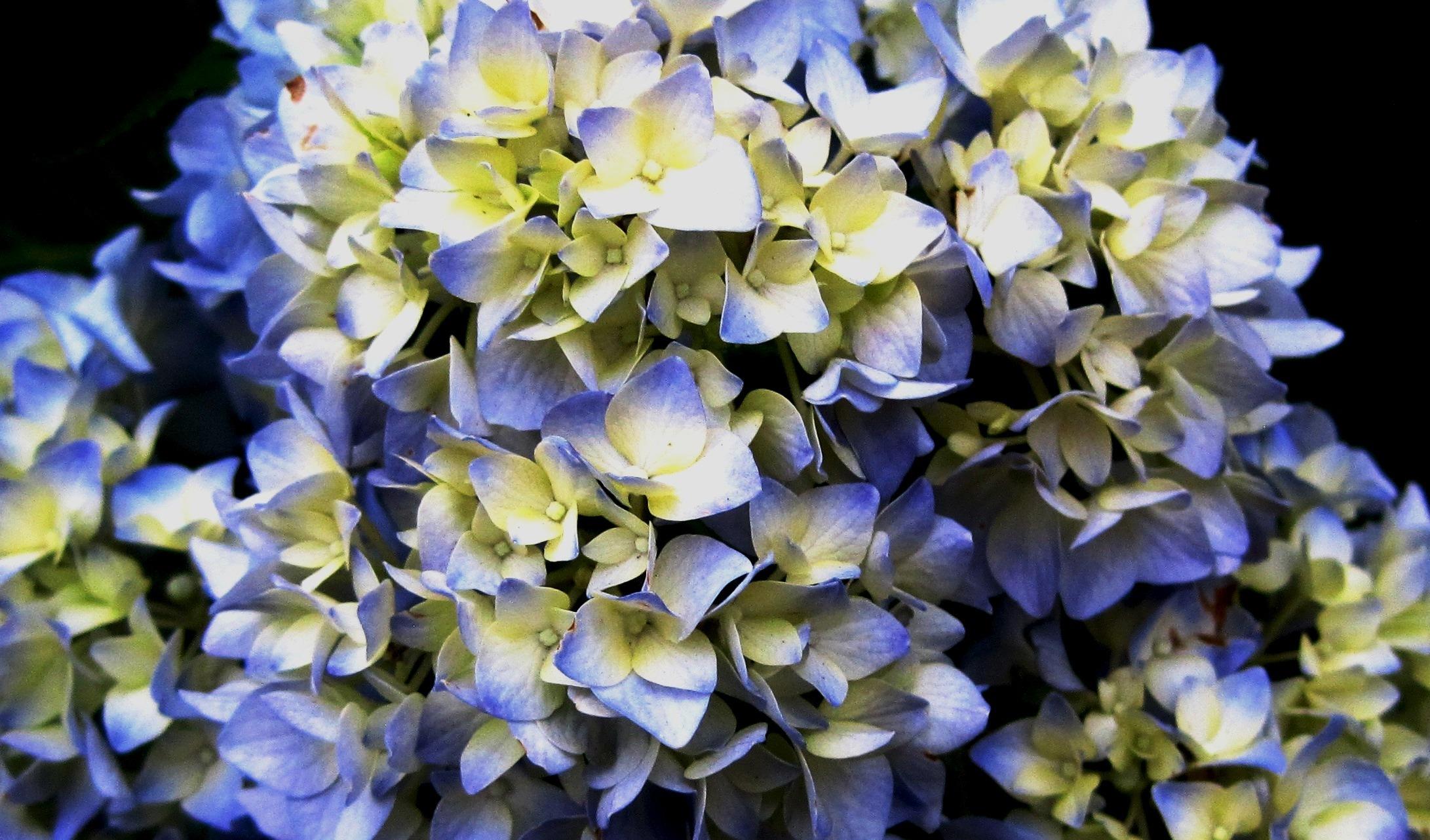 Kostenlose foto : blühen, Weiß, Blume, Blütenblatt, blau, Flora ...