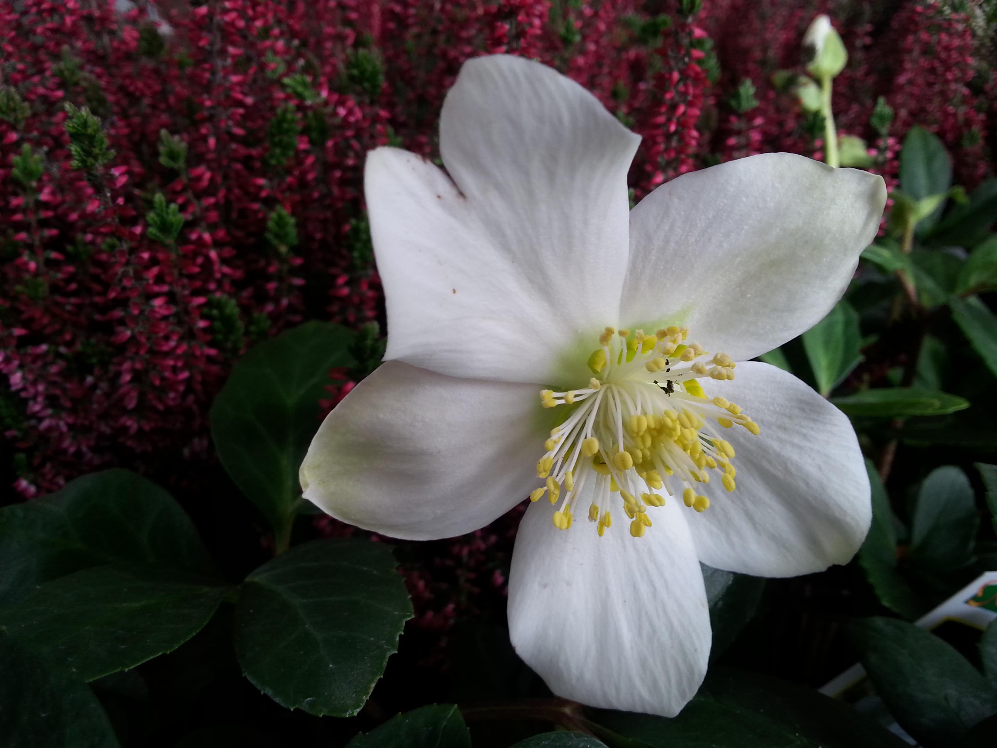 Free Images Blossom Petal Botany Flora White Flower