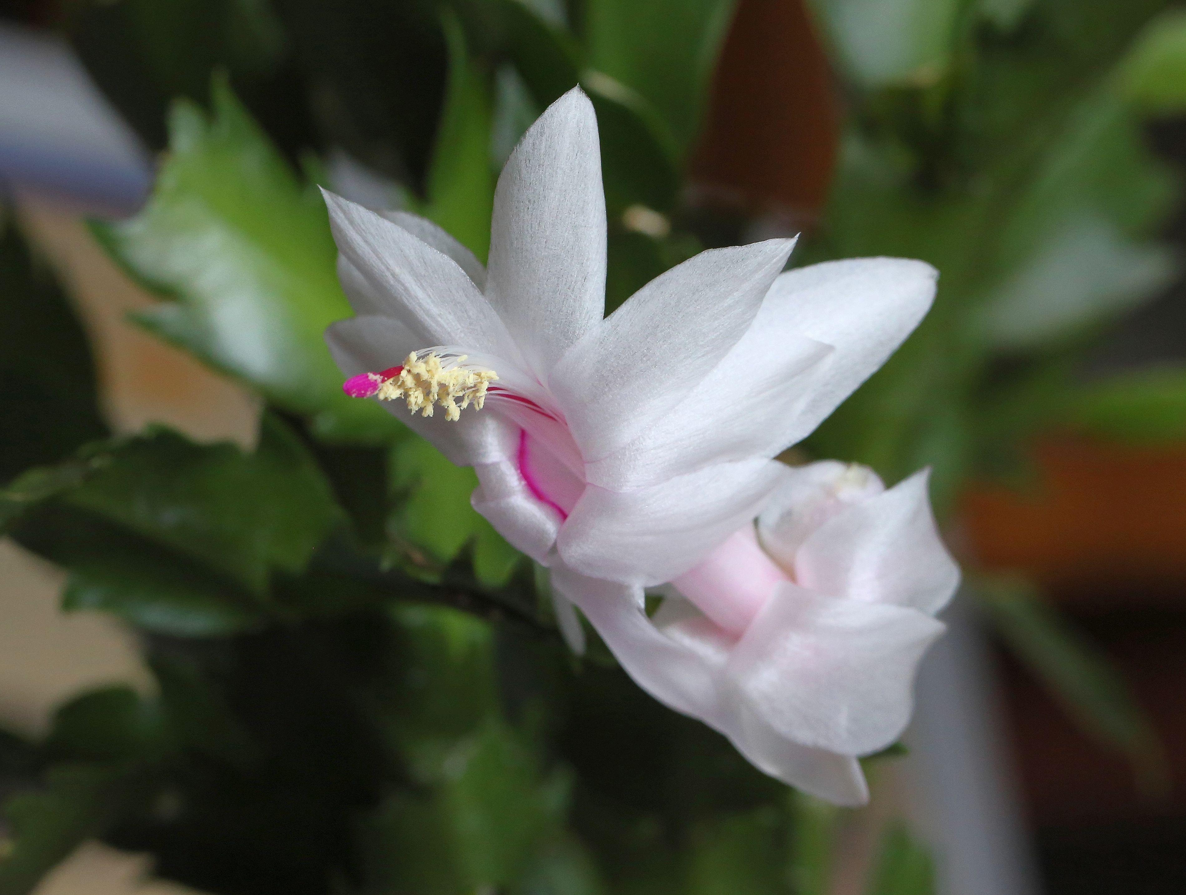 Free Images Blossom White Petal Botany Flora Macro