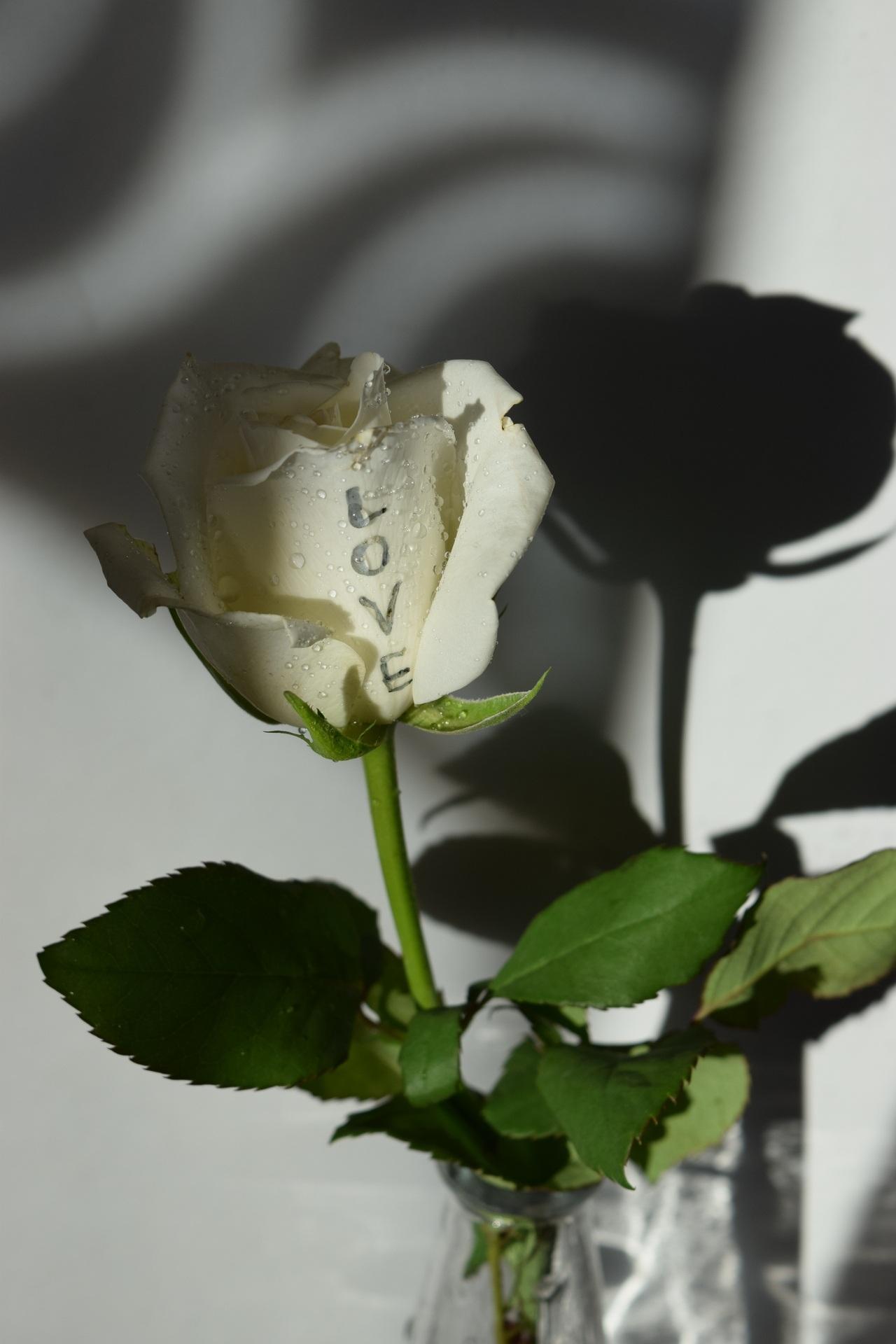 Картинки с белыми розами любимой