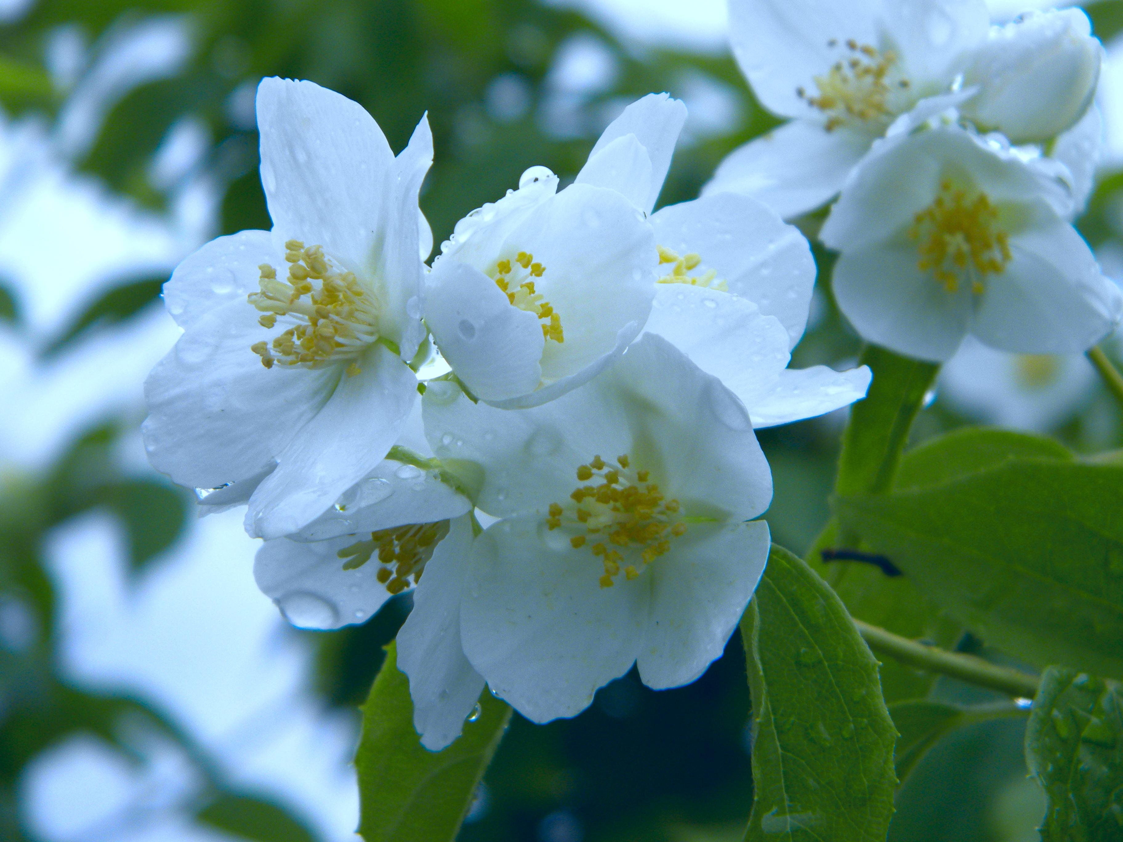 Gambar Mekar Menanam Putih Daun Bunga Musim Semi Flora