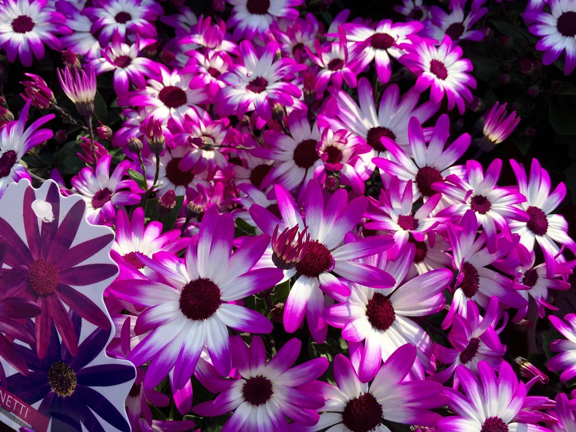 Free Images Blossom White Flower Purple Petal Fl Color Botany Colorful Blanket Flora Wildflower Flowers Petals Bright Blossoms