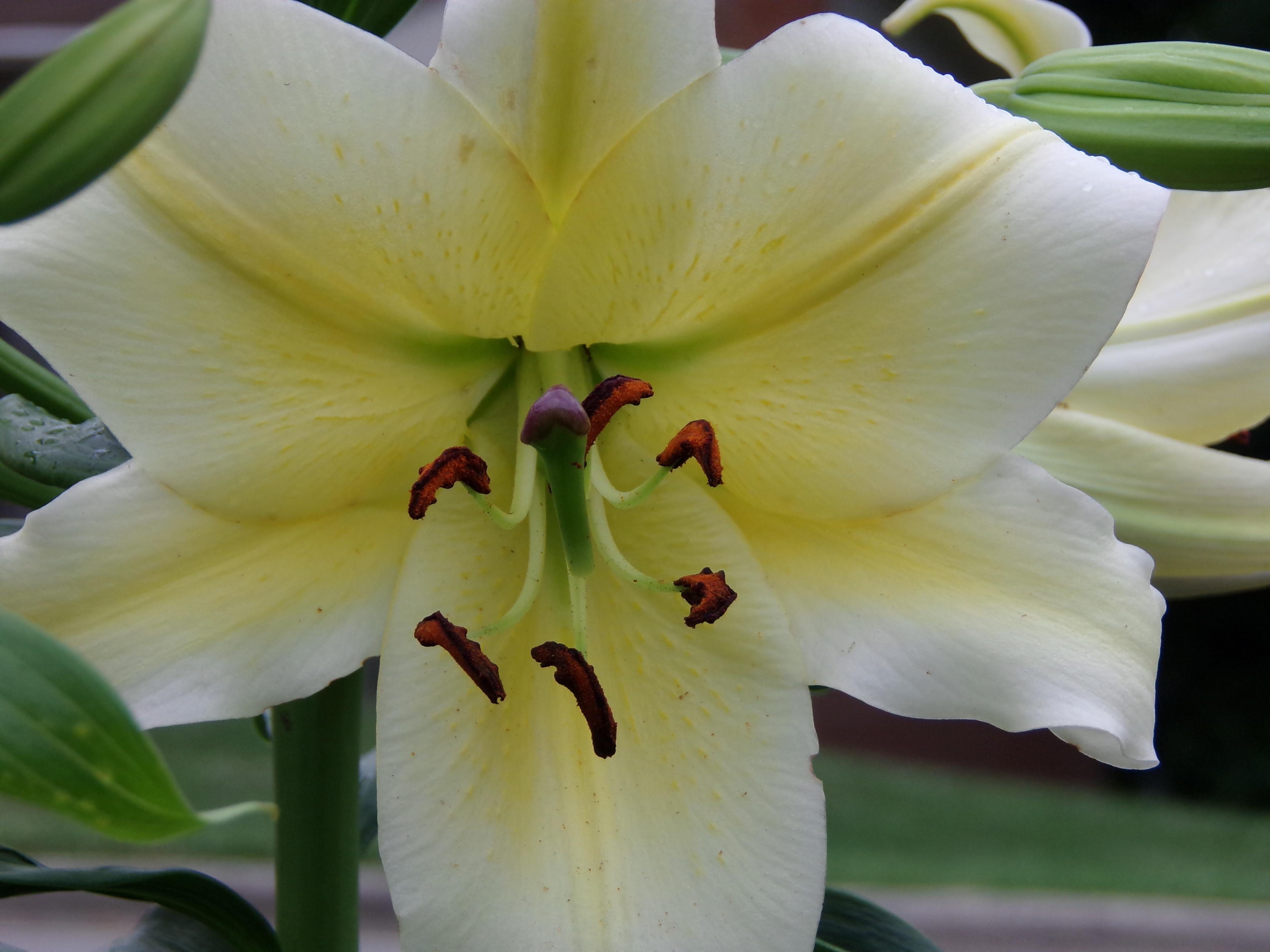 Free Images : blossom, white, leaf, flower, petal, bloom, summer ...