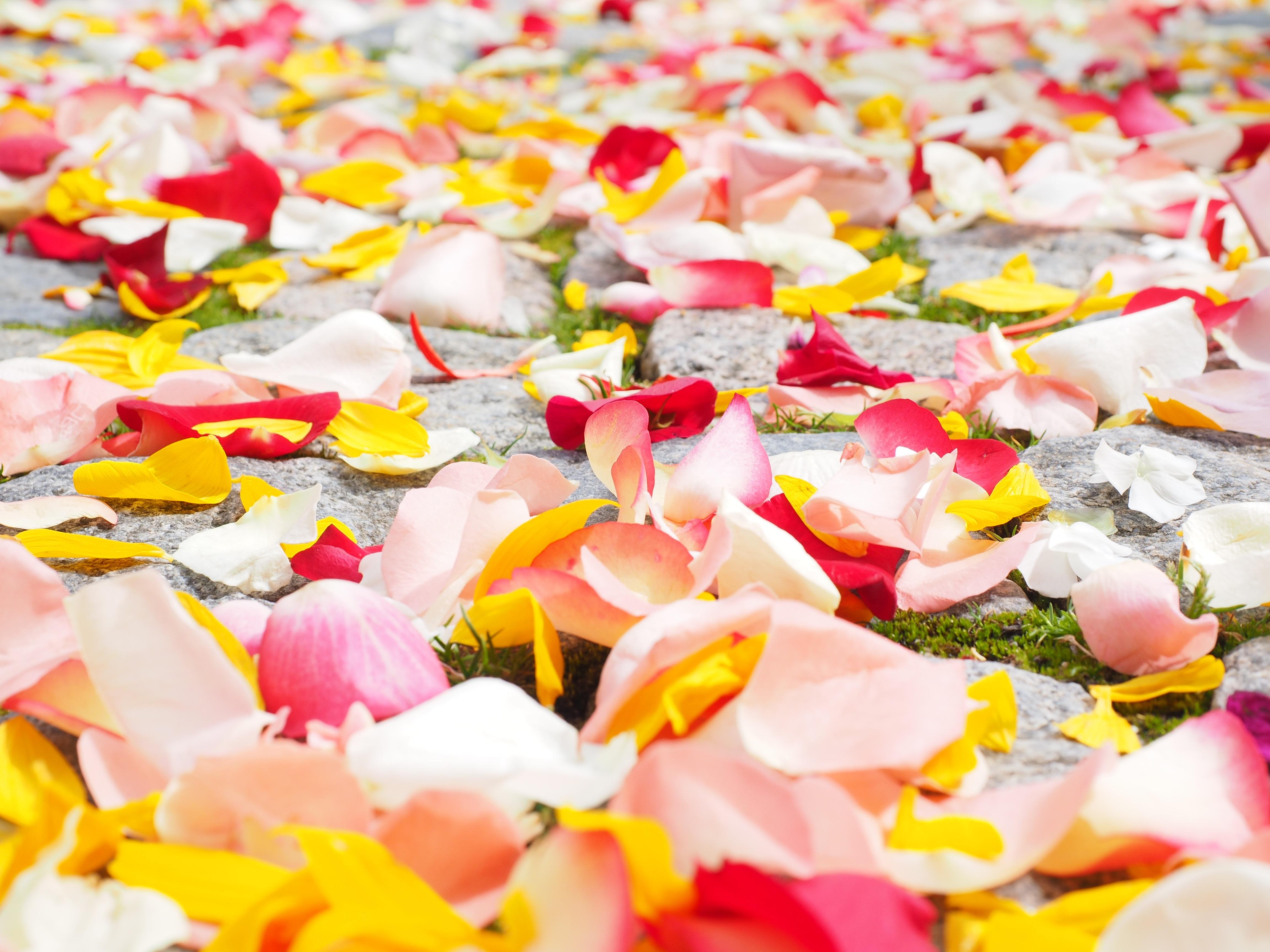 Fotos gratis : flor, planta, blanco, hoja, pétalo, amor, rojo, color ...