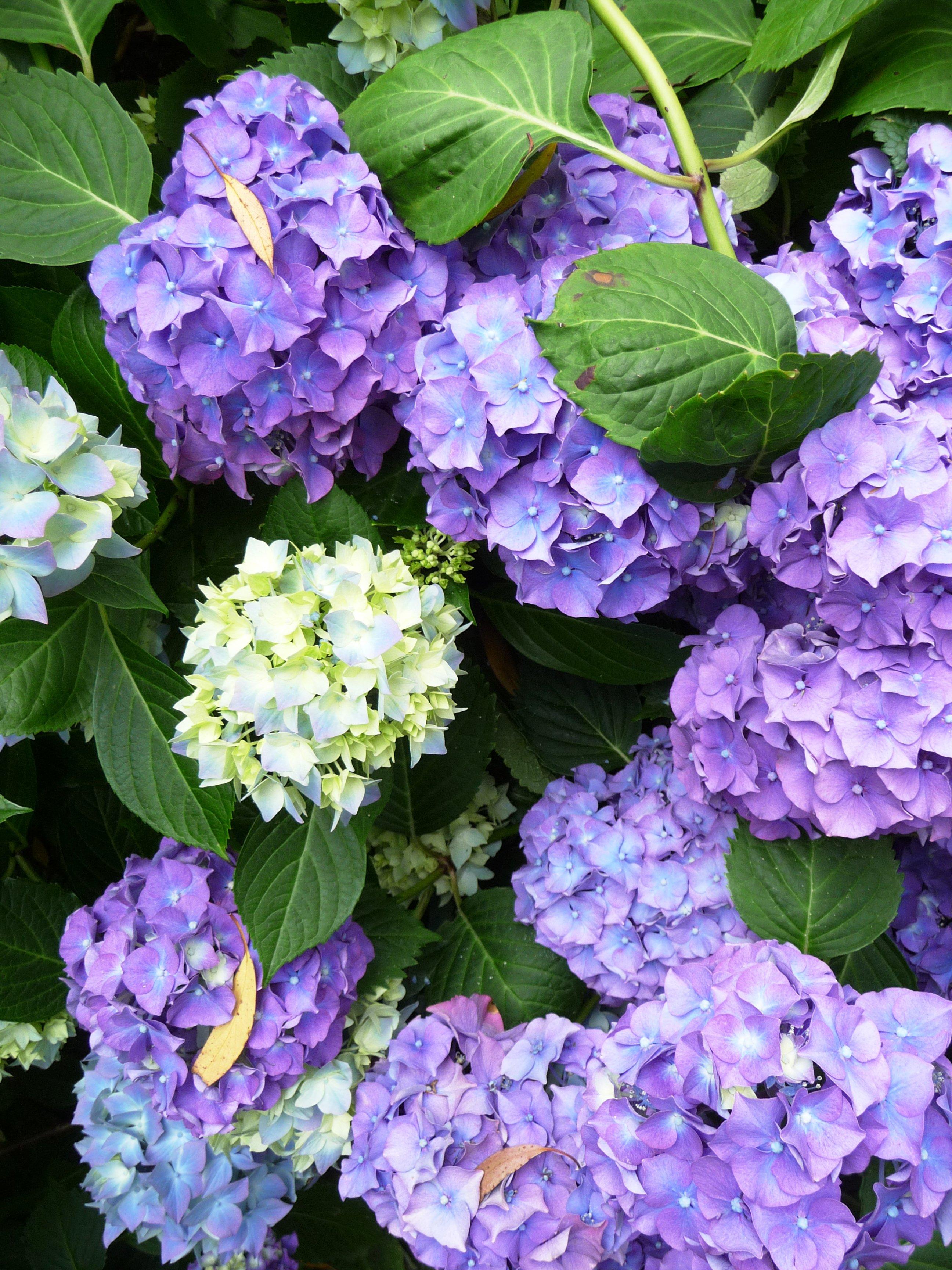 Fotos Gratis Flor Blanco Hoja Purpura Florecer Color - Color-hortensia
