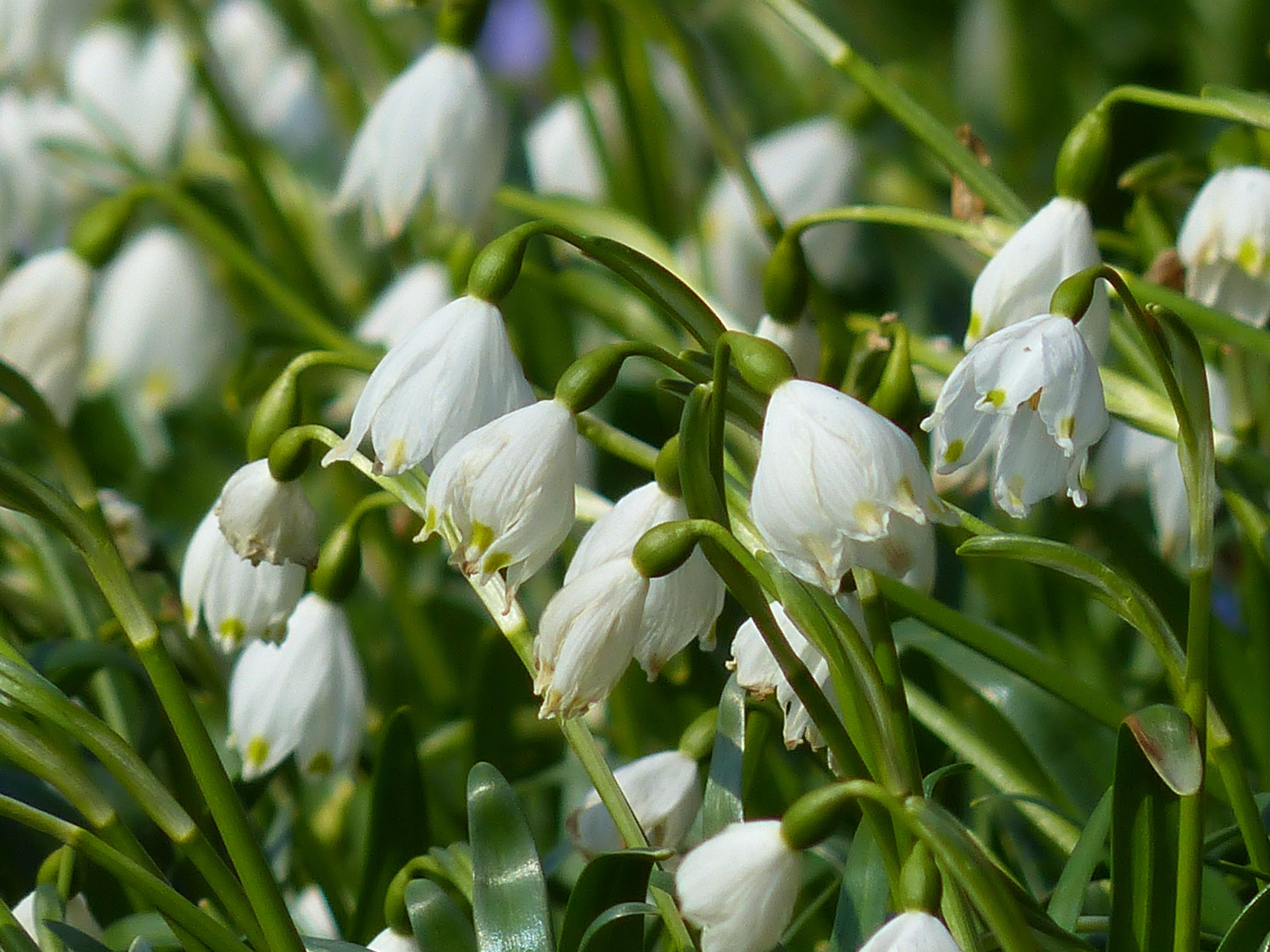 Kostenlose Foto Blühen Weiß Wiese Blume Grün Makro Botanik