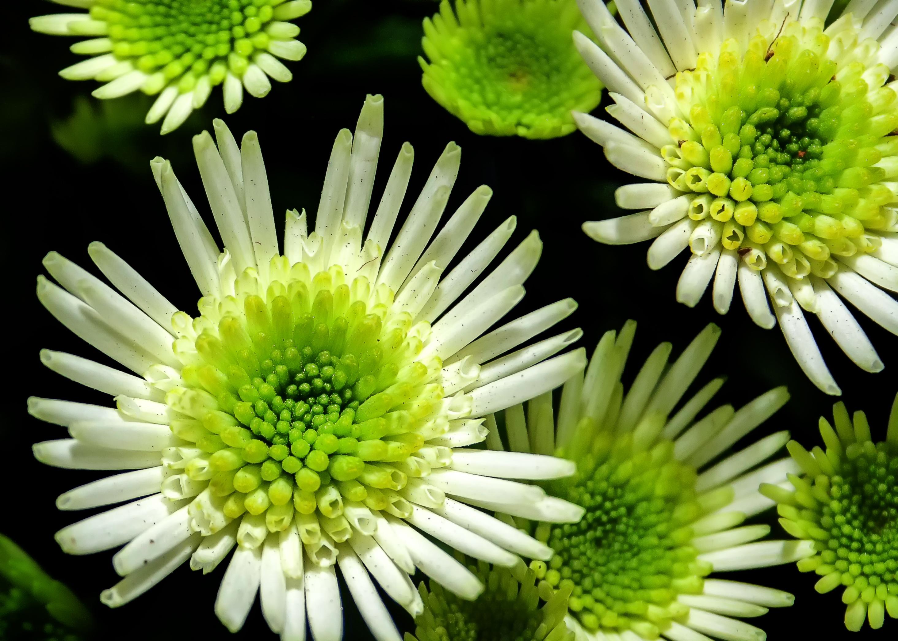 Фото фотохудожника зеленая хризантемы