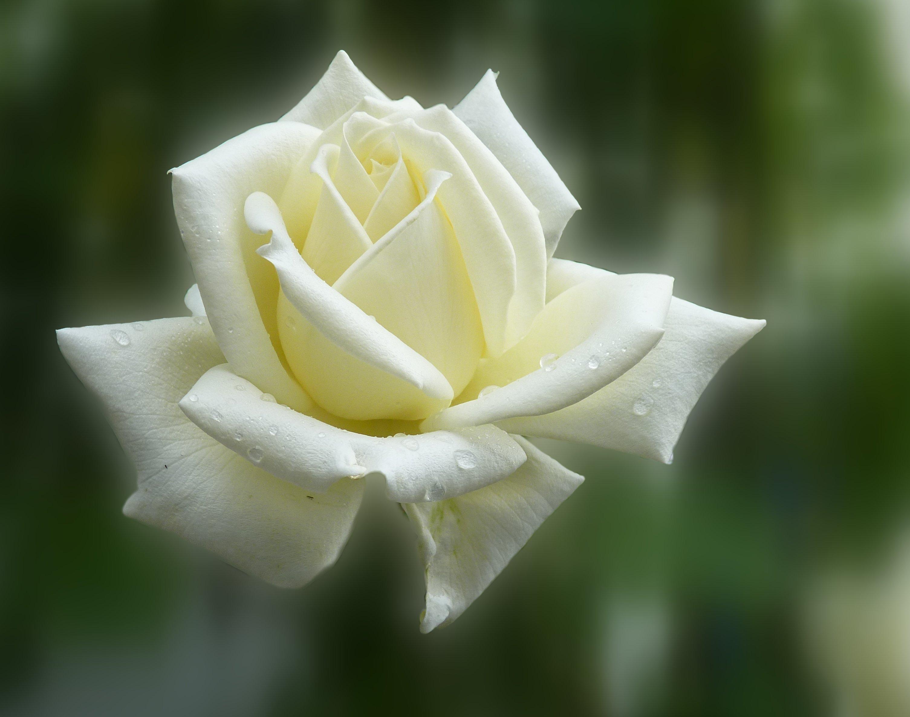 картинка белы бутон розы окончании