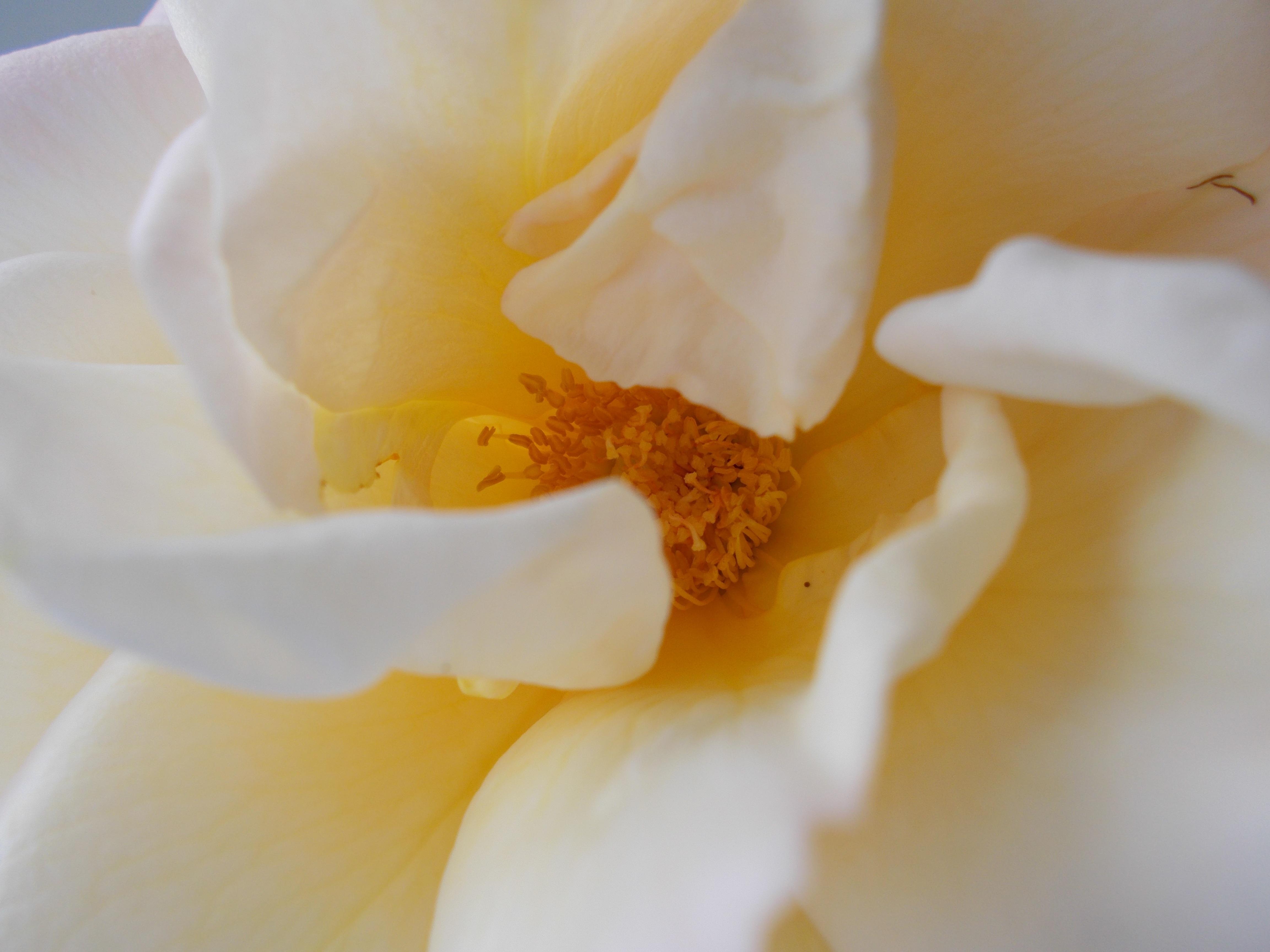 images gratuites : fleur, blanc, la photographie, pétale, pollen