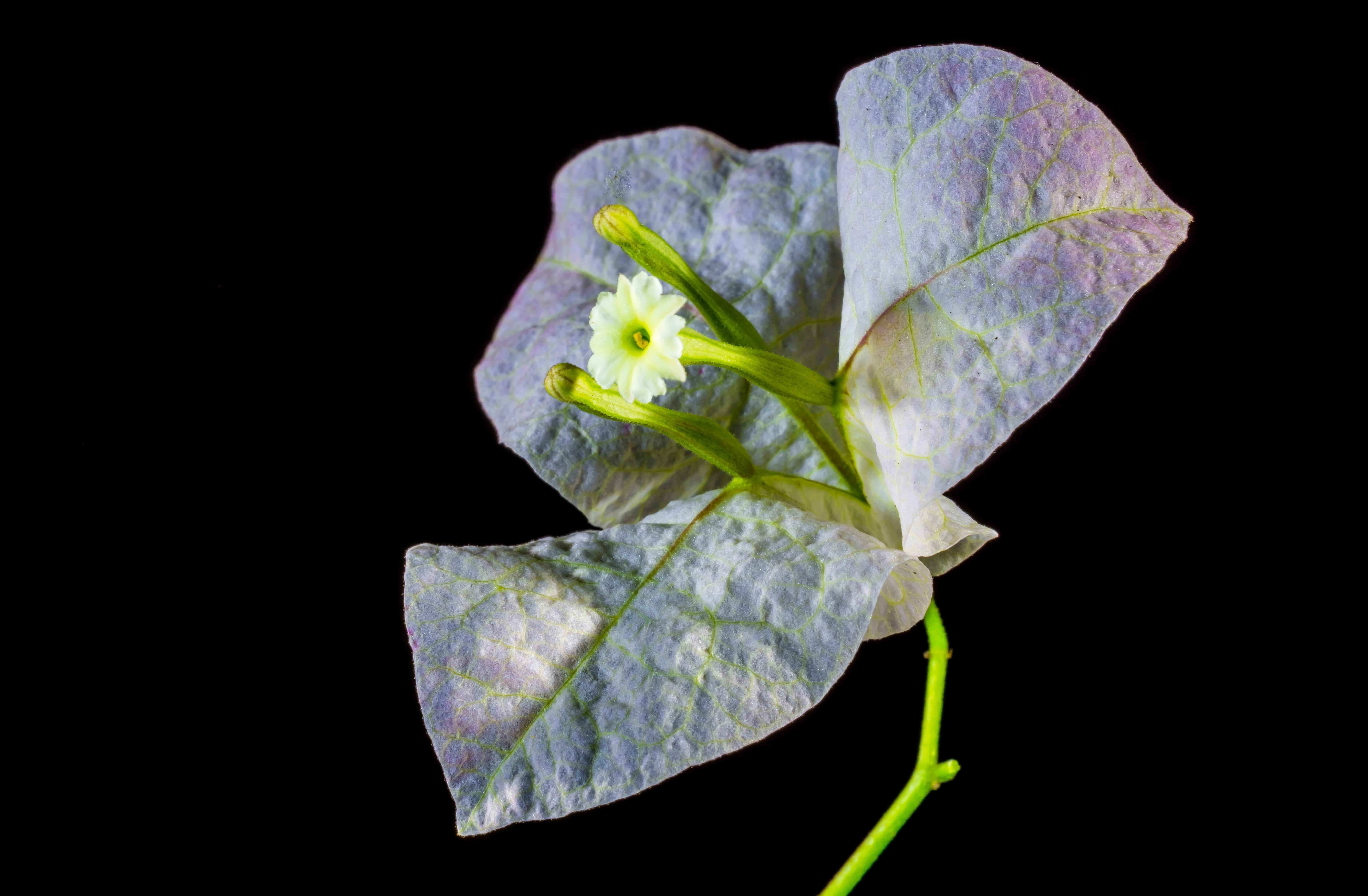Bougainville Fleur à images gratuites : fleur, blanc, la photographie, feuille, pétale