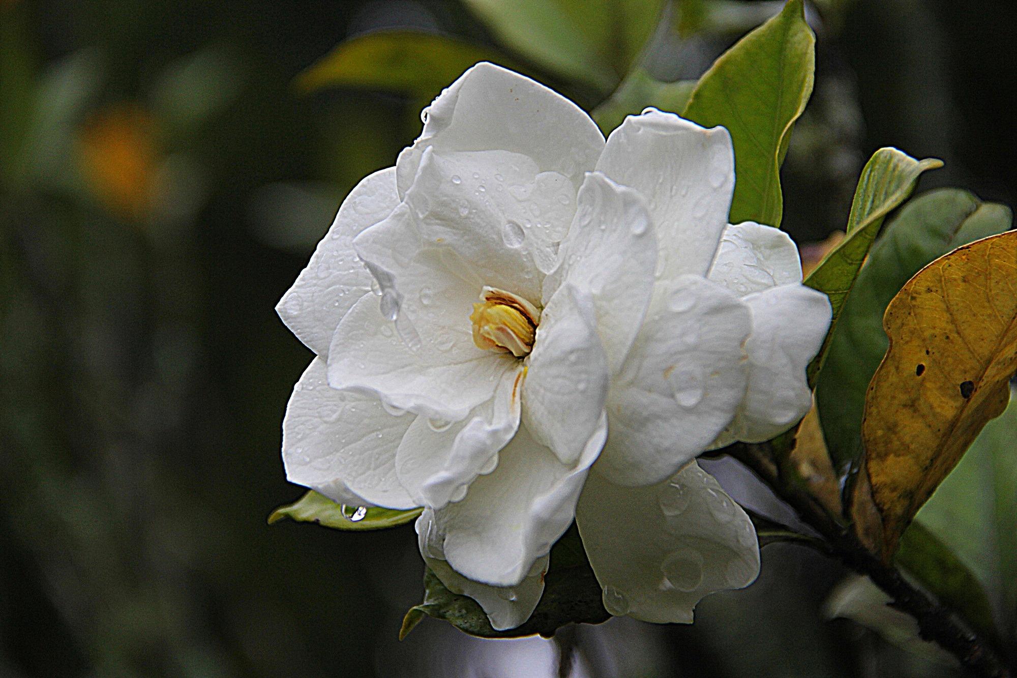 Free Images Blossom White Leaf Flower Petal Bloom Floral