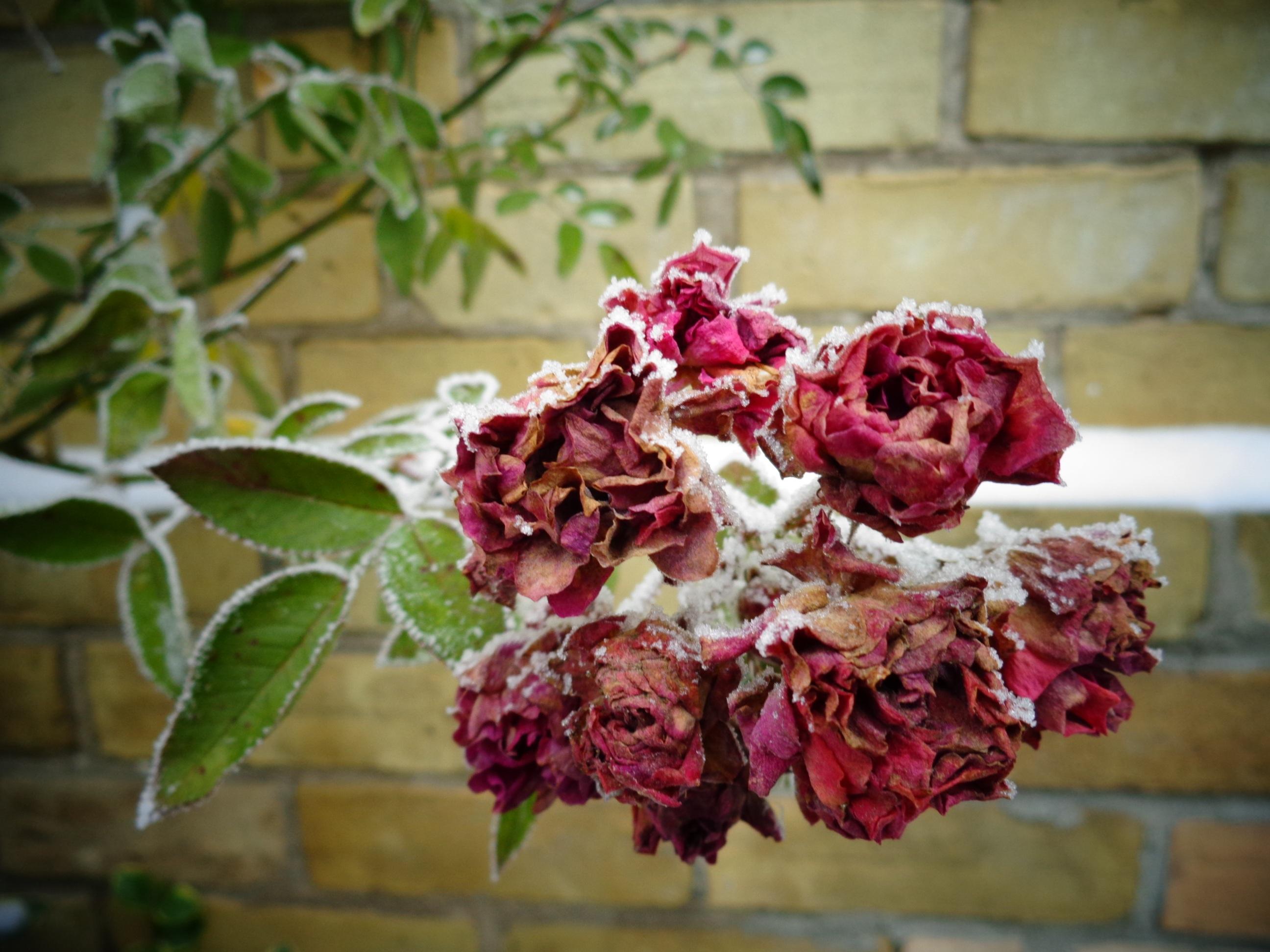 kostenlose foto bl hen schnee kalt winter frucht blatt blume bl tenblatt frost eis. Black Bedroom Furniture Sets. Home Design Ideas
