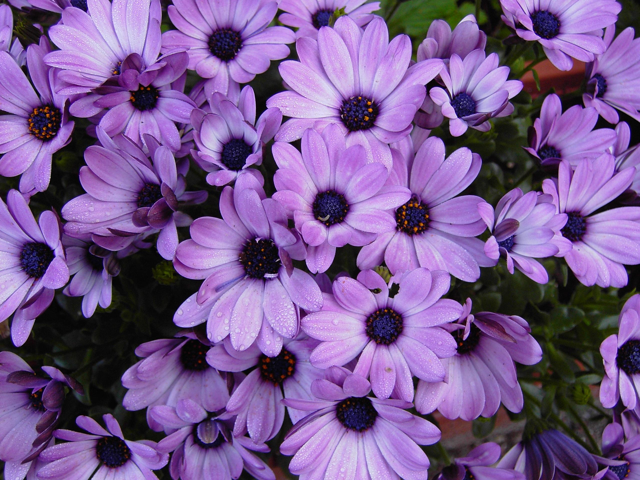 садовые цветы с фиолетовыми цветками картинки