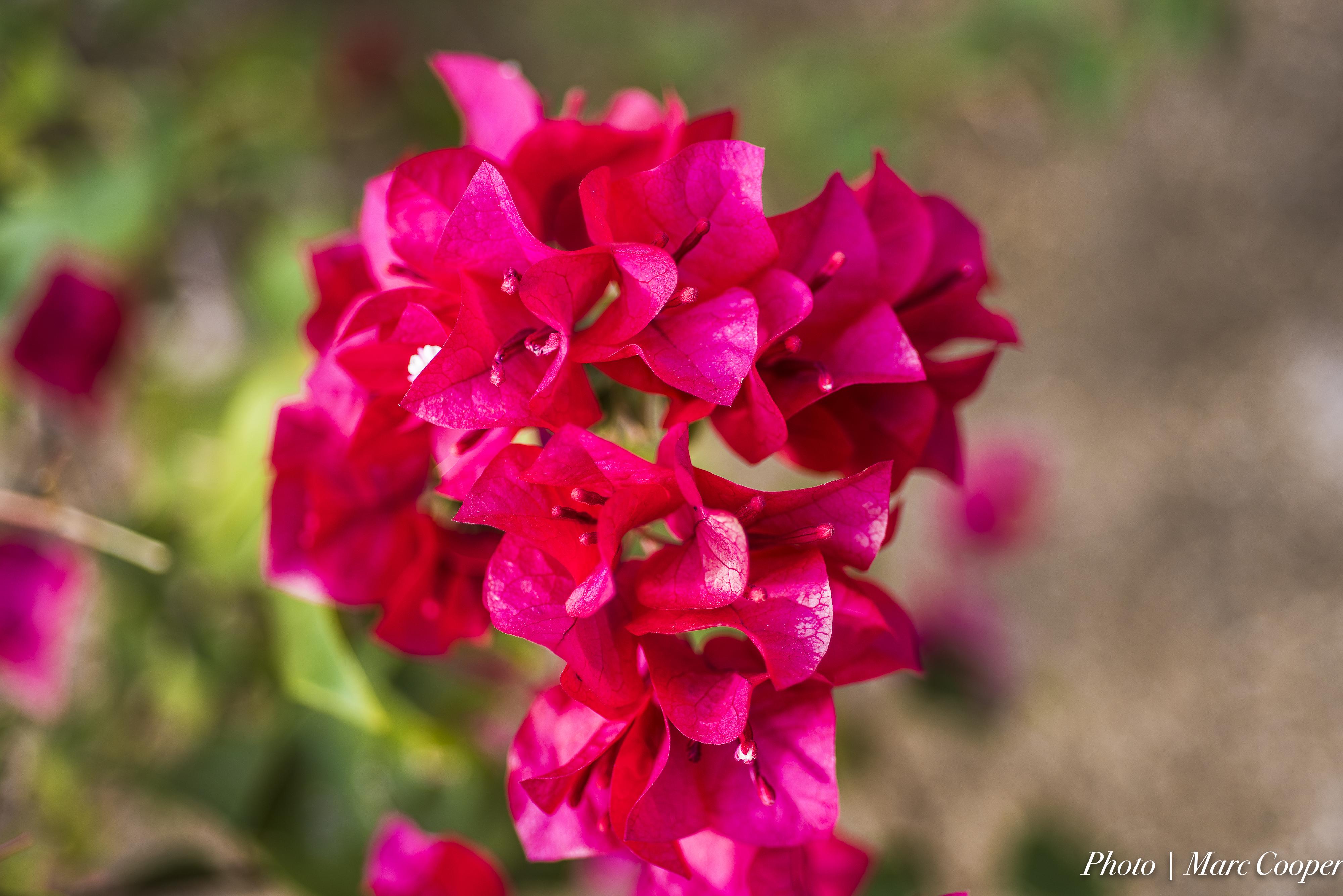 Kostenlose foto : blühen, Winter, Blume, Blütenblatt, rot, Makro ...