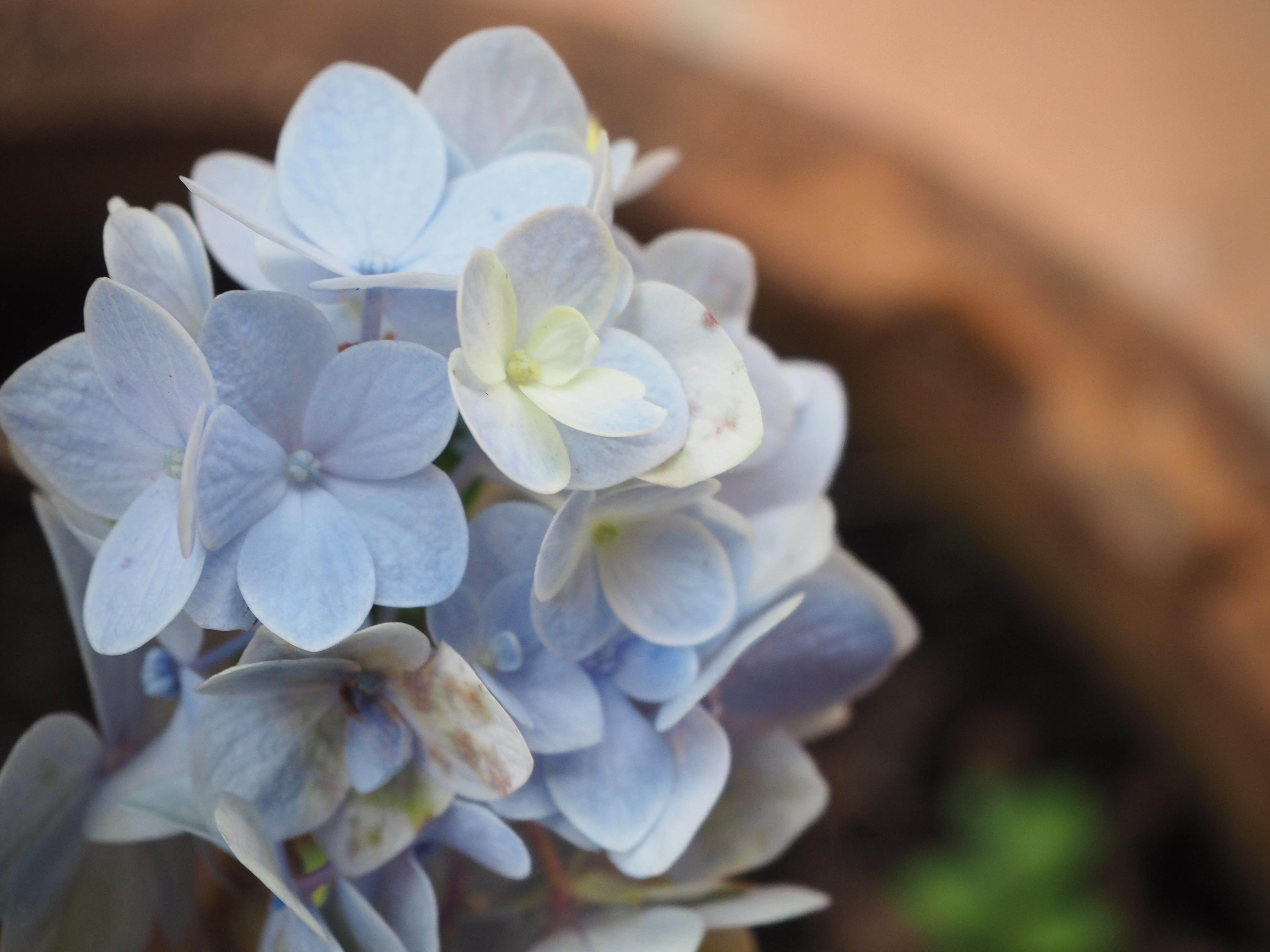 Free Images Blue Hydrangea Flower White Flowering Plant Flora