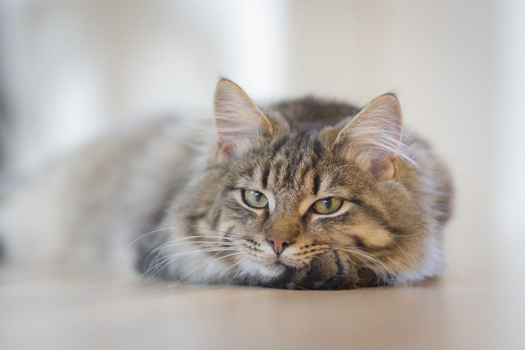Download 67+  Gambar Kucing Ngantuk Paling Baru HD
