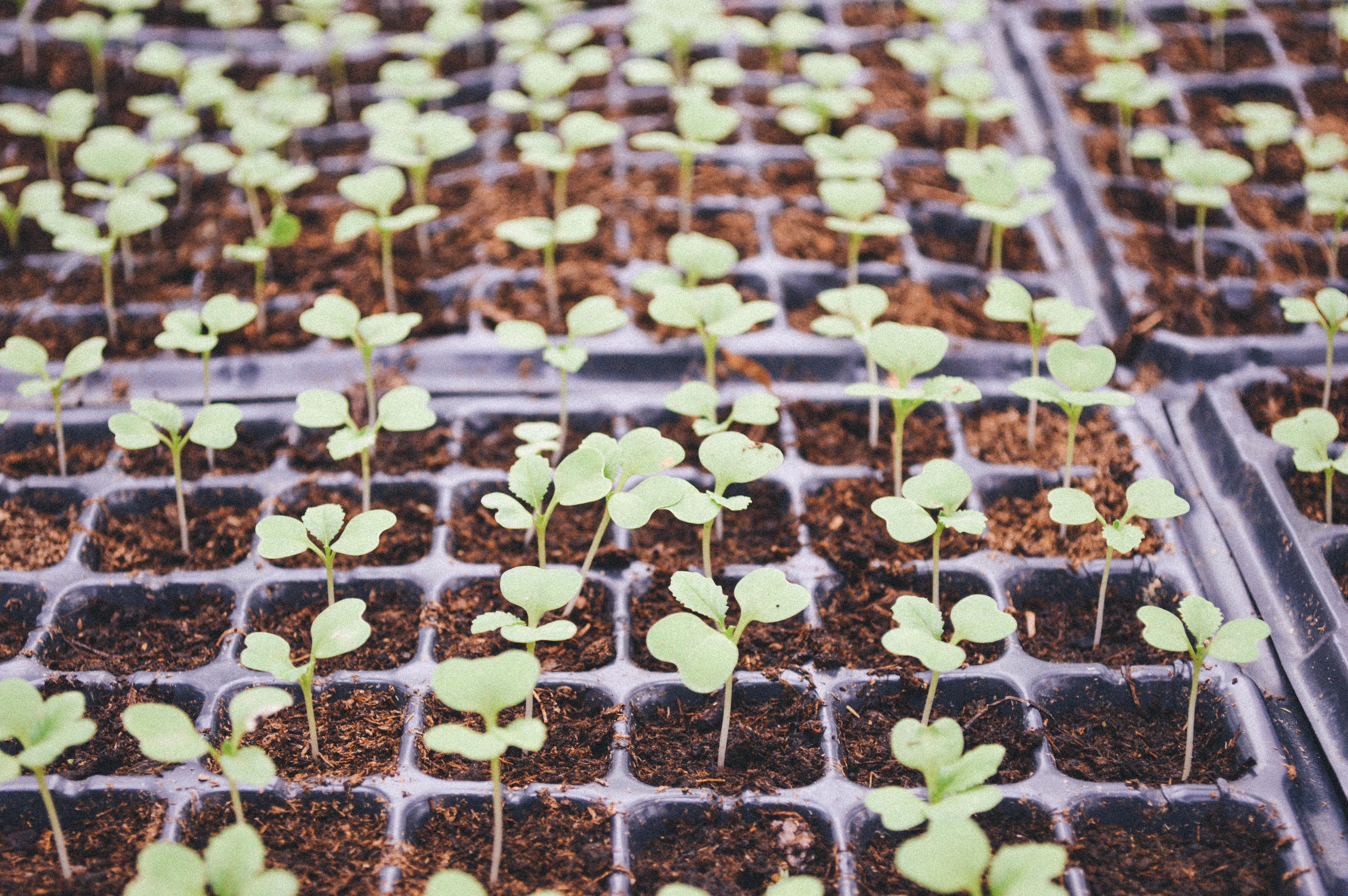 Как выращивать рассаду цветной капусты и брокколи в 19