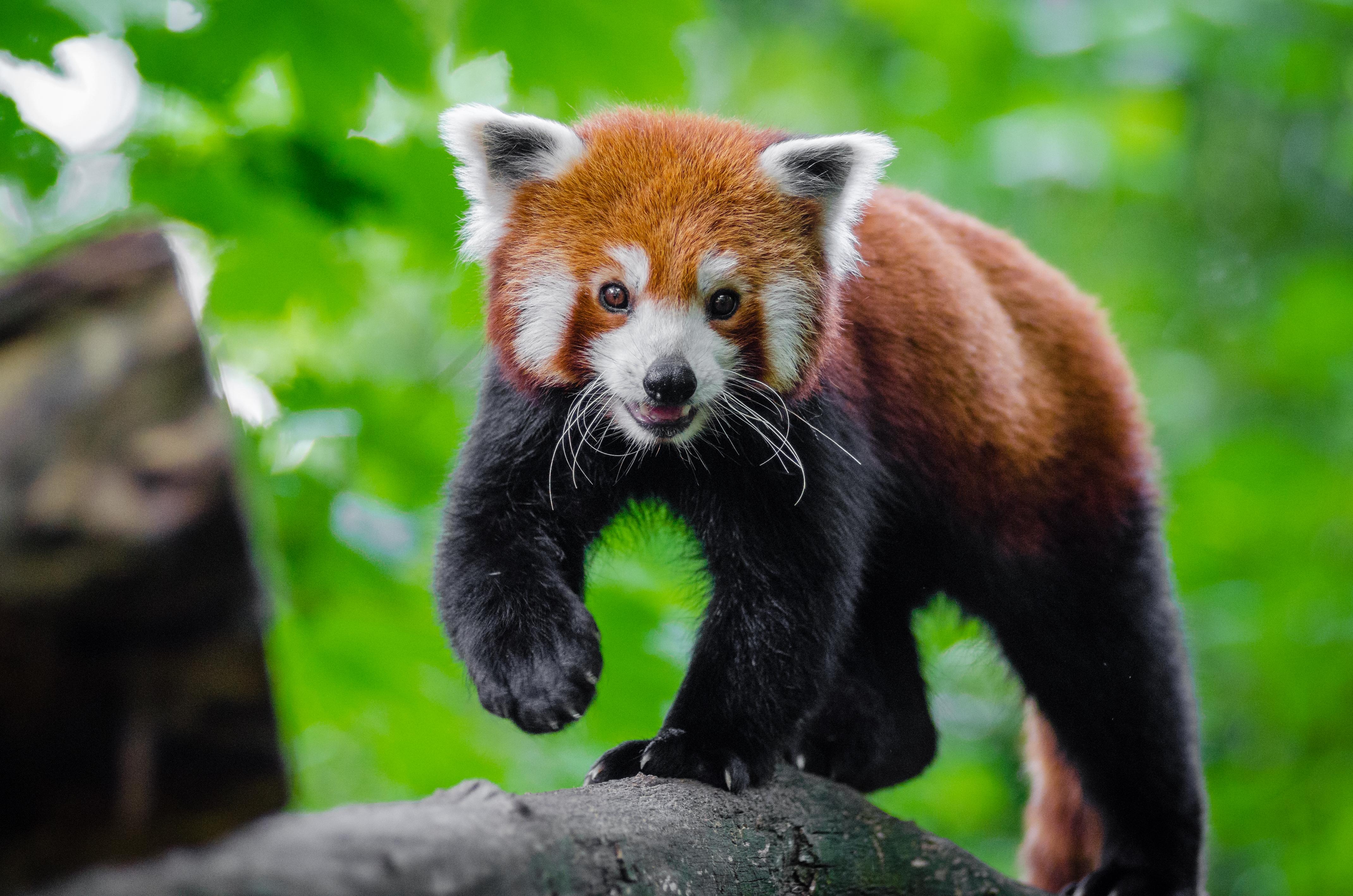 Bakgrundsbilder : bokeh, djur-, Björn, vilda djur och ... Cute Puppies