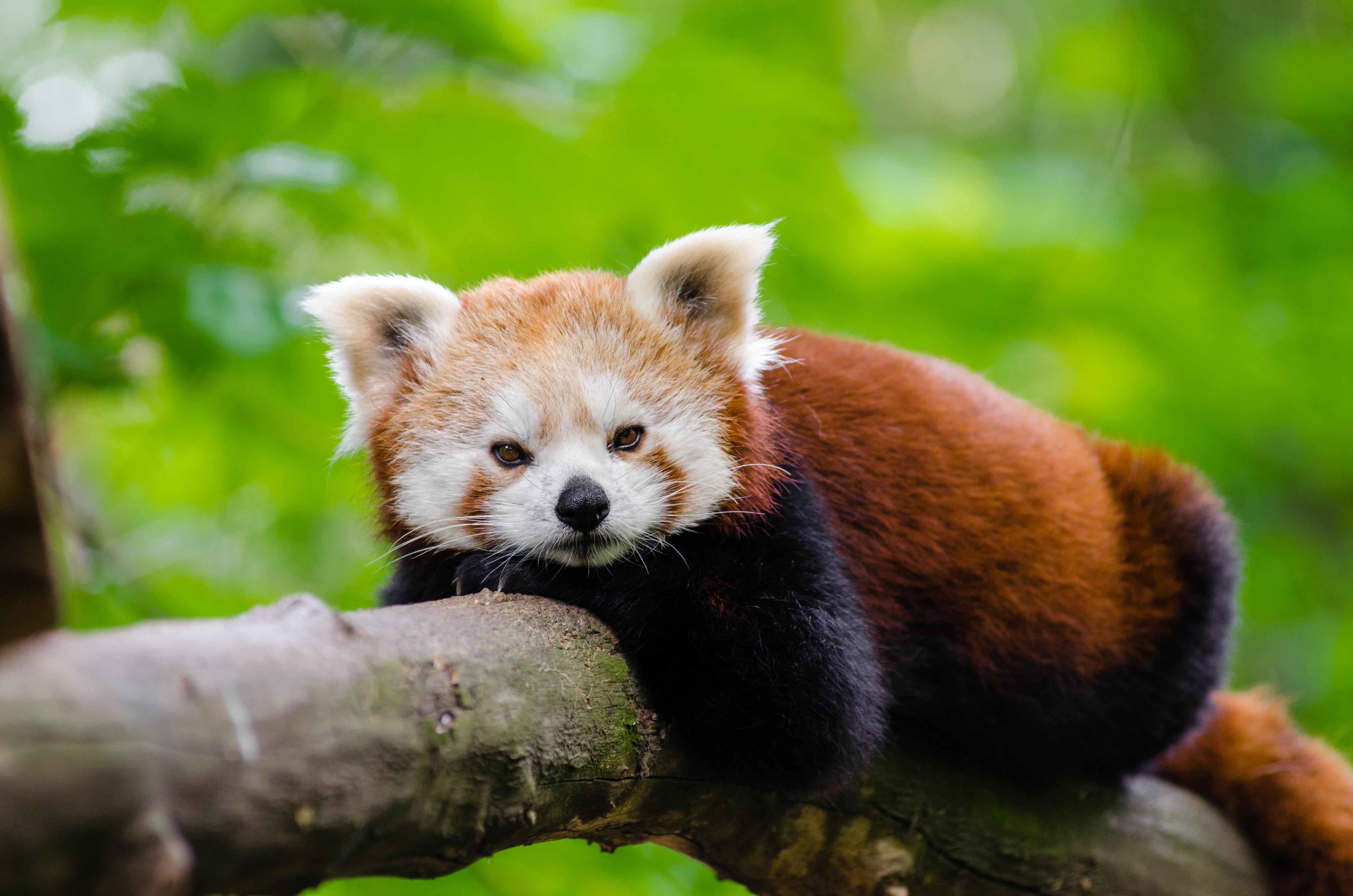 Image of: Poaching Bokeh Animal Bear Wildlife Zoo Red Mammal Fauna Red Panda Panda Endangered Vertebrate Germany Giant Panda Free Images Bokeh Animal Bear Wildlife Zoo Mammal Fauna Red