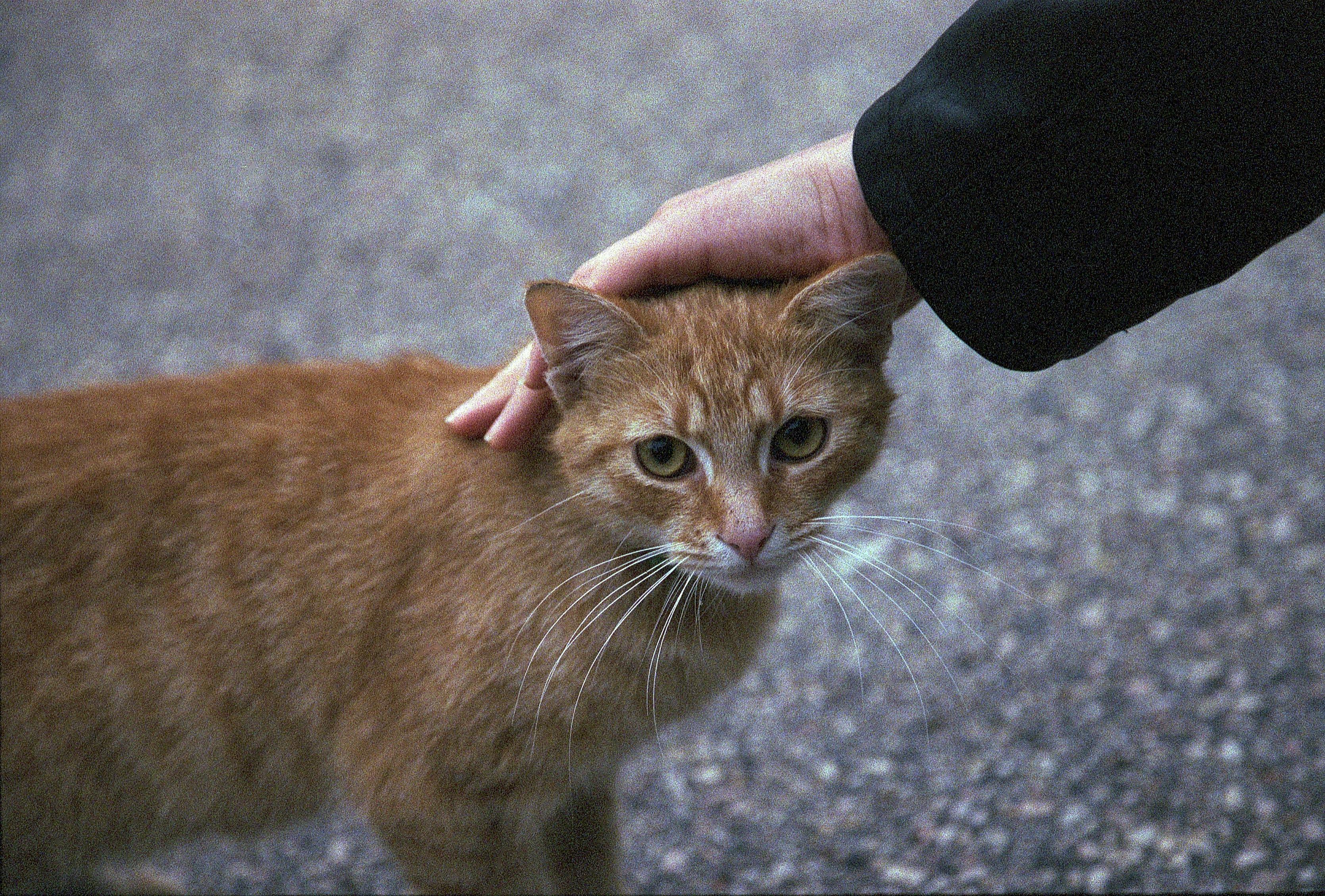 df4eac72ee Fotos gratis : Bokeh, película, cosa análoga, gatito, gato, lente, canon,  fauna, L, bigotes, Eos, vertebrado, serie, 5, muerto, Superia, 1600,  24105l, ...