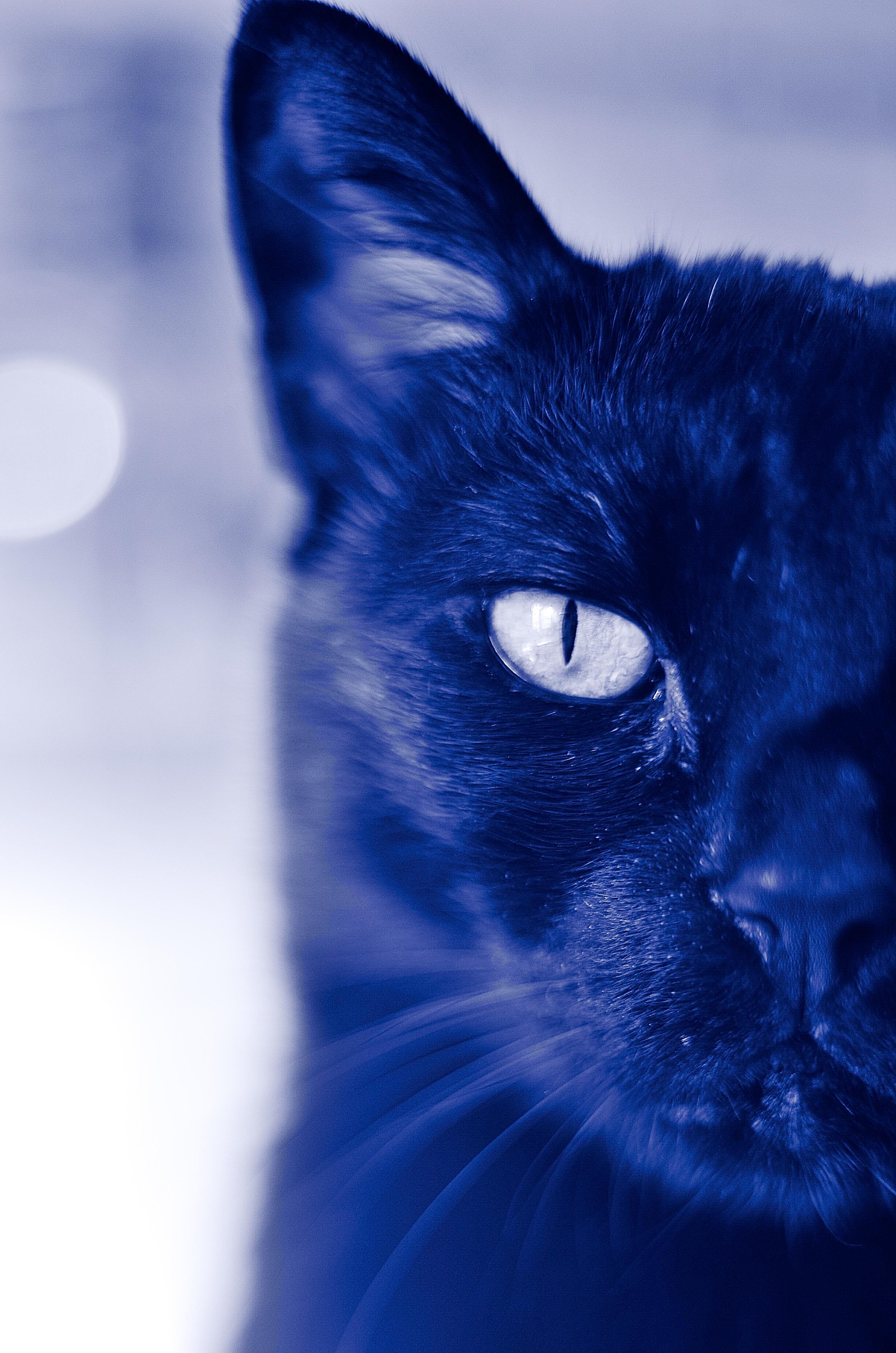 7516a16fad Bokeh gatito gato mamífero azul gato negro Nikon negro de cerca de cerca  nariz bigotes gratis
