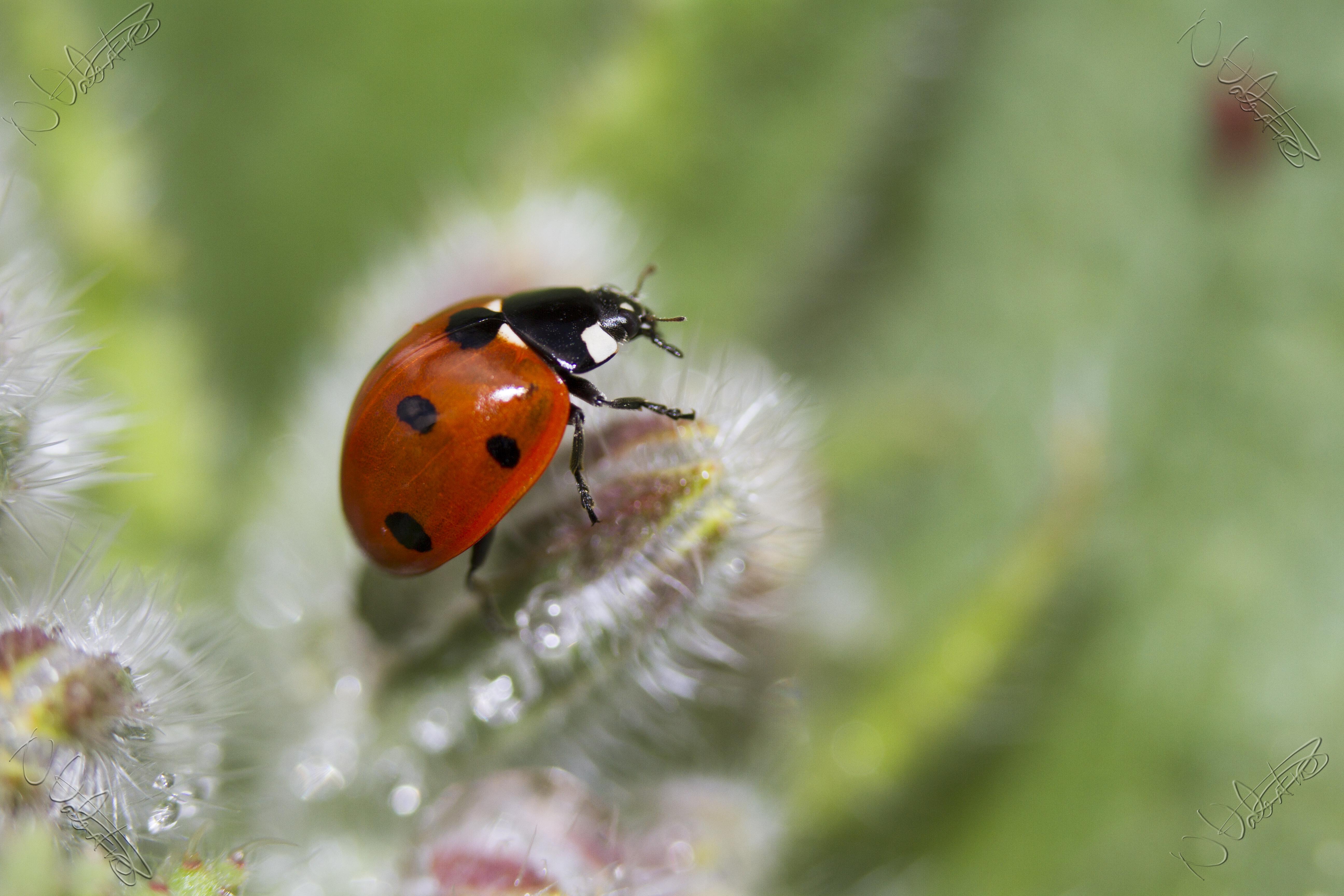 Bokeh Photography Flower Insect Macro Ladybug Garden Fauna Ladybird  Invertebrate Close Up Outdoors Uk Dof Beetle