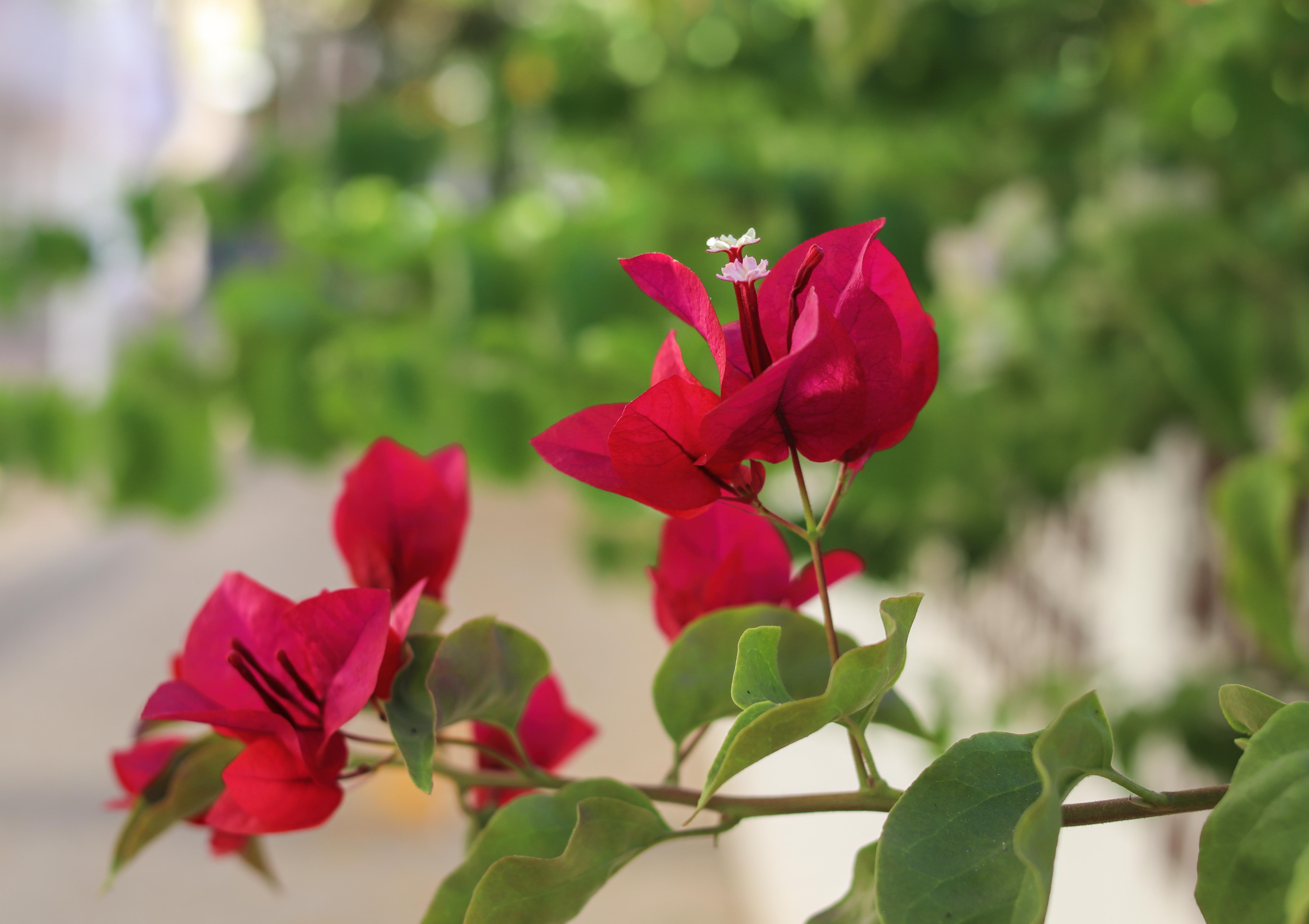 Free Images : bougainville, flower, flowering plant, petal ...