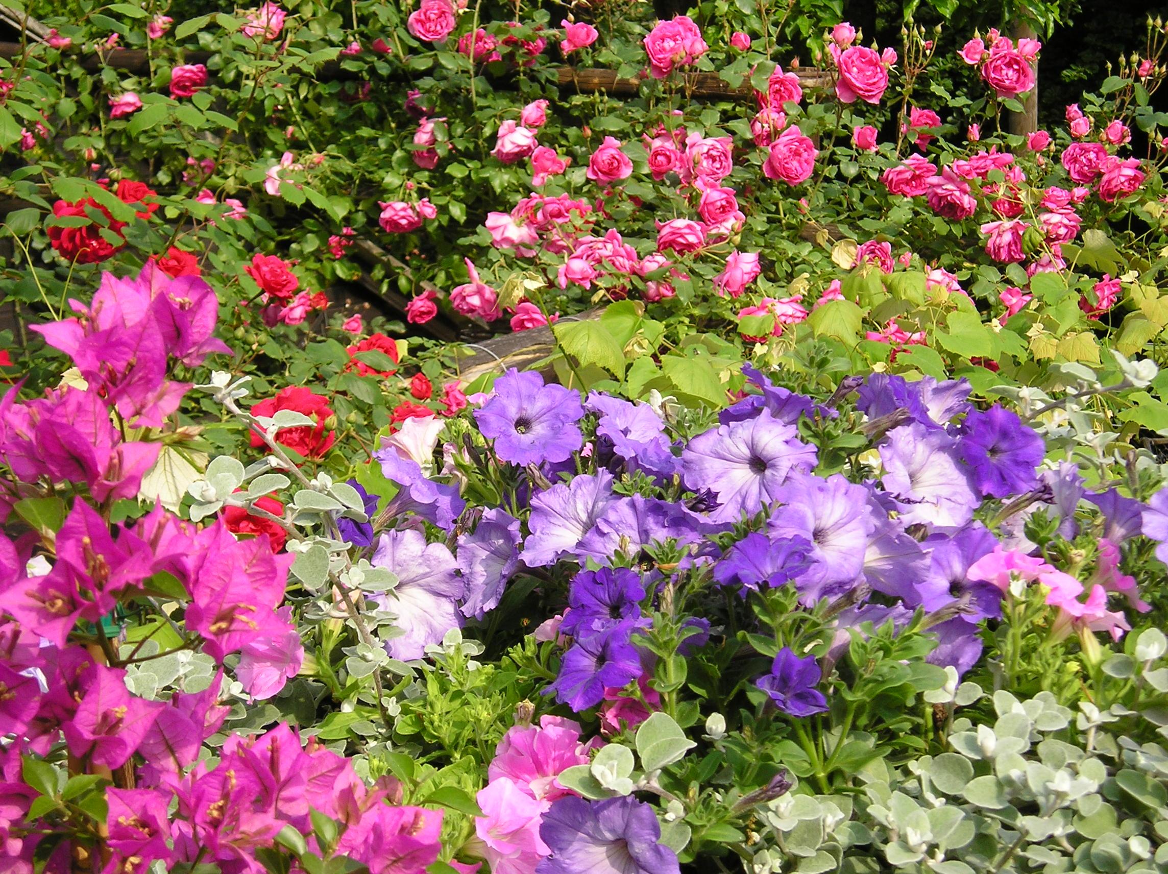 Gambar Bugenvil Warna Ungu Tua Mawar Menanam Bunga Tanaman