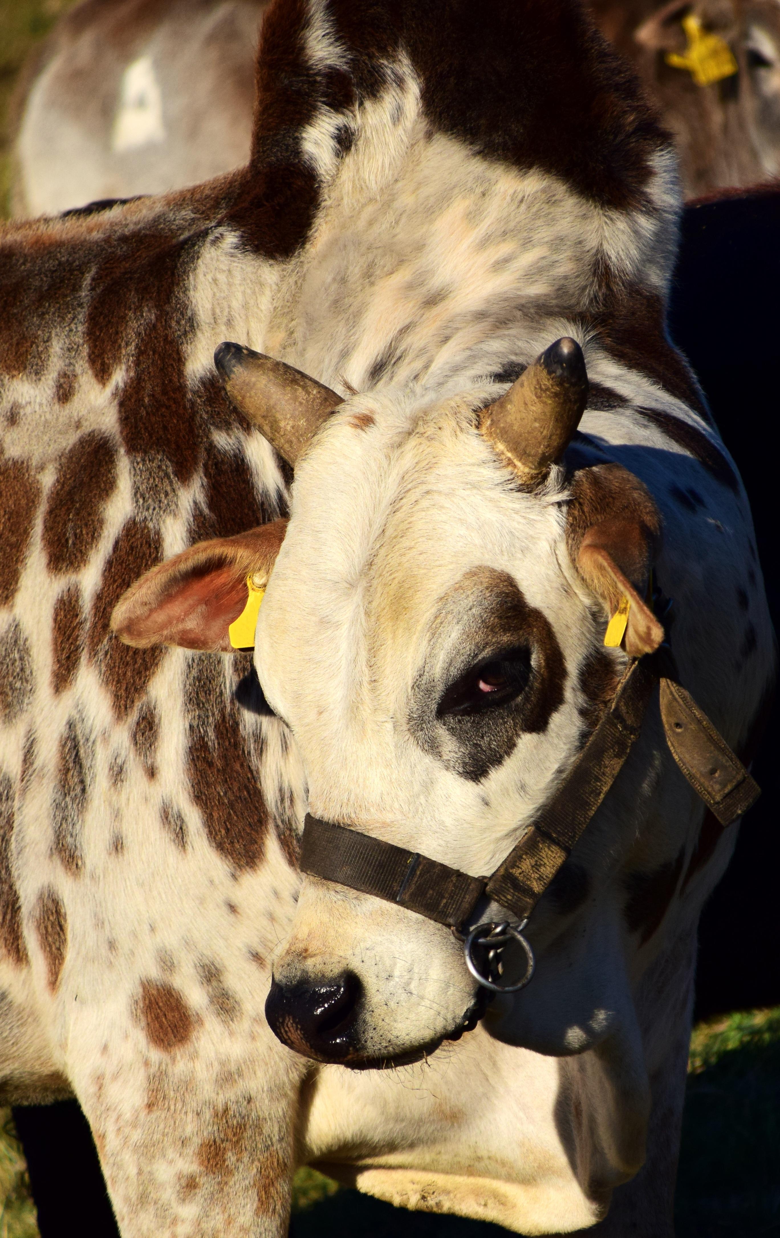 8400 Gambar Montase Hewan Ternak Terbaik