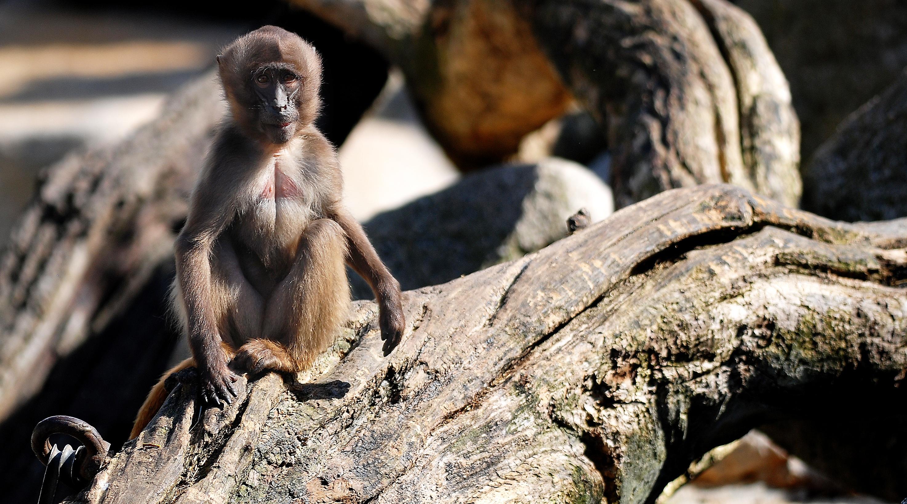 hình ảnh : chi nhánh, thú vật, dễ thương, Động vật hoang dã, hoang dã, vườn bách thú, Động vật có vú, con khỉ, Động vật, Linh trưởng, buồn cười, Đáng yêu, ...
