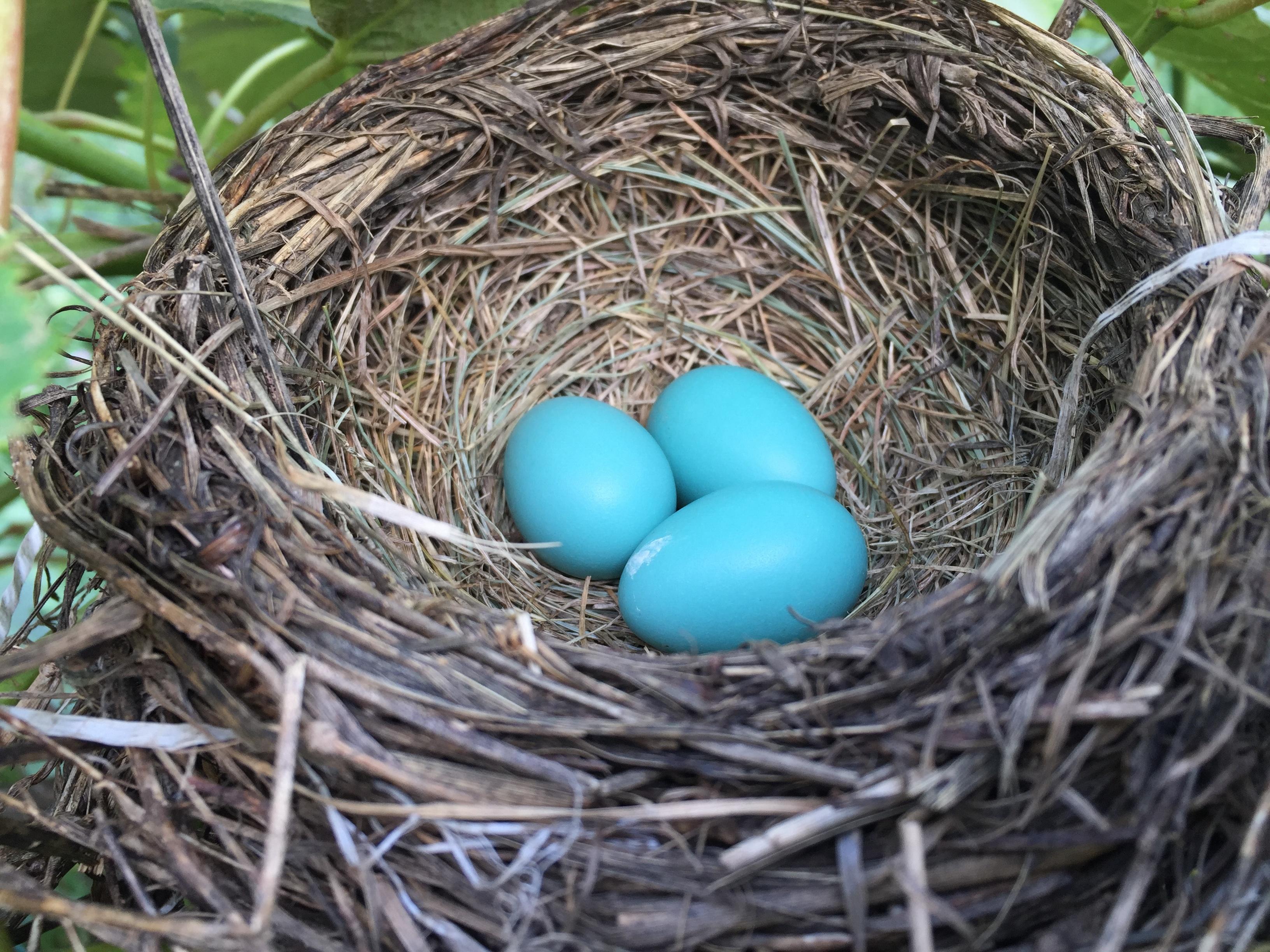 Fotos Gratis Rama Pájaro Pico Huevo Nido De Pájaro Azulejo