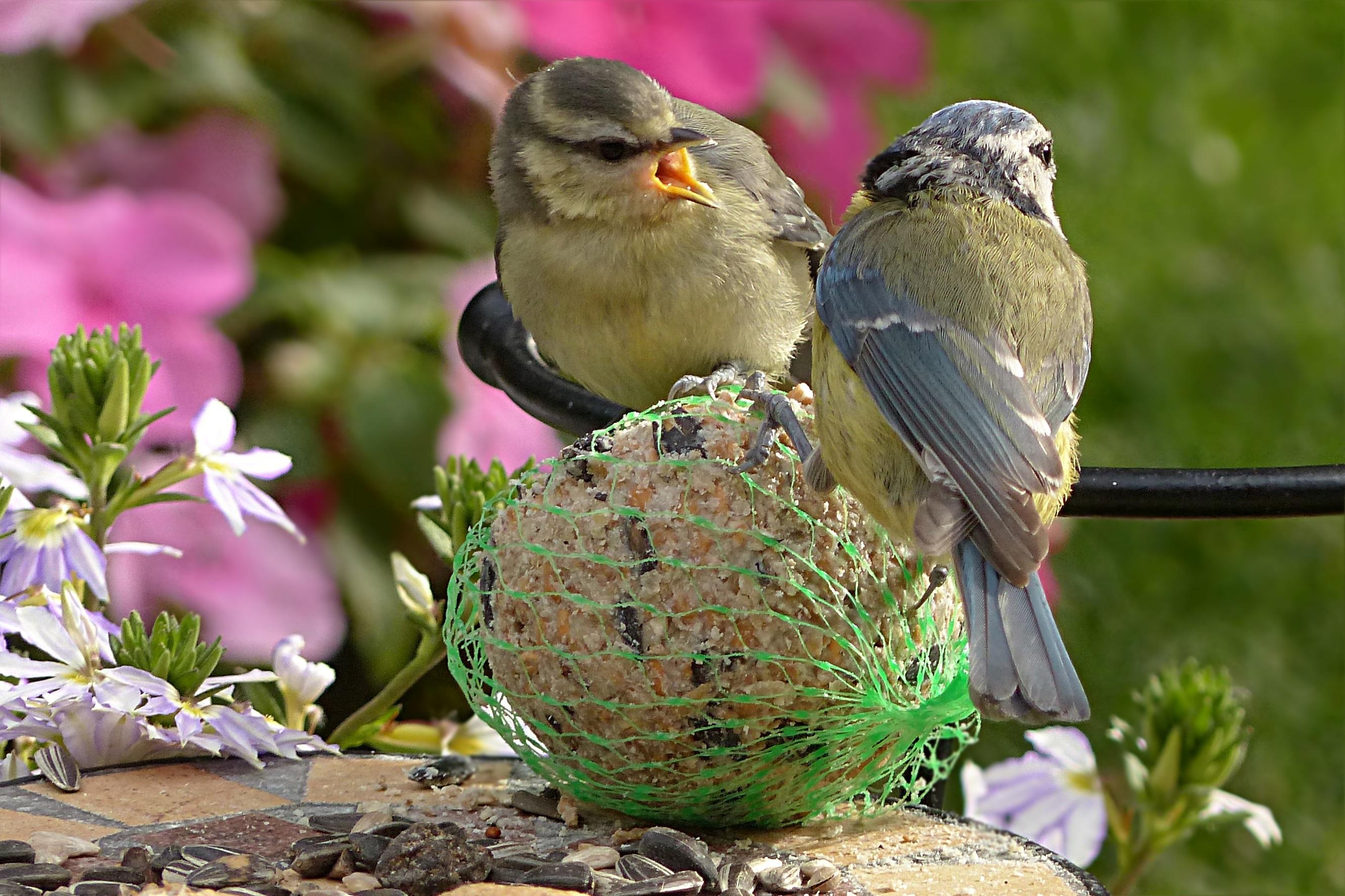 Images gratuites branche oiseau fleur faune jeune for Oiseau commun