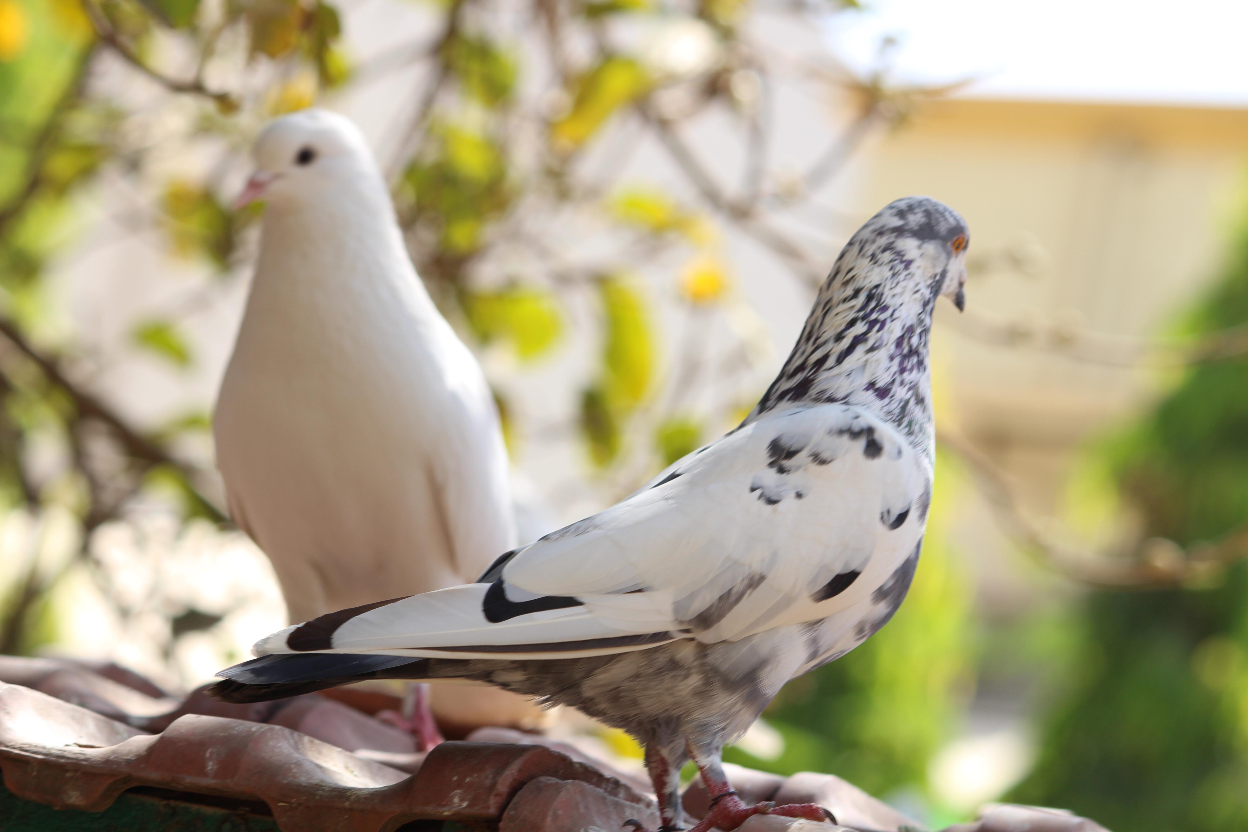 Gambar Cabang Margasatwa Paruh Fauna Bertulang Belakang Finch Bertengger Burung Merpati Dan Merpati Dove Saham Parkit Hewan Peliharaan Umum 5184x3456 88649 Galeri Foto Pxhere