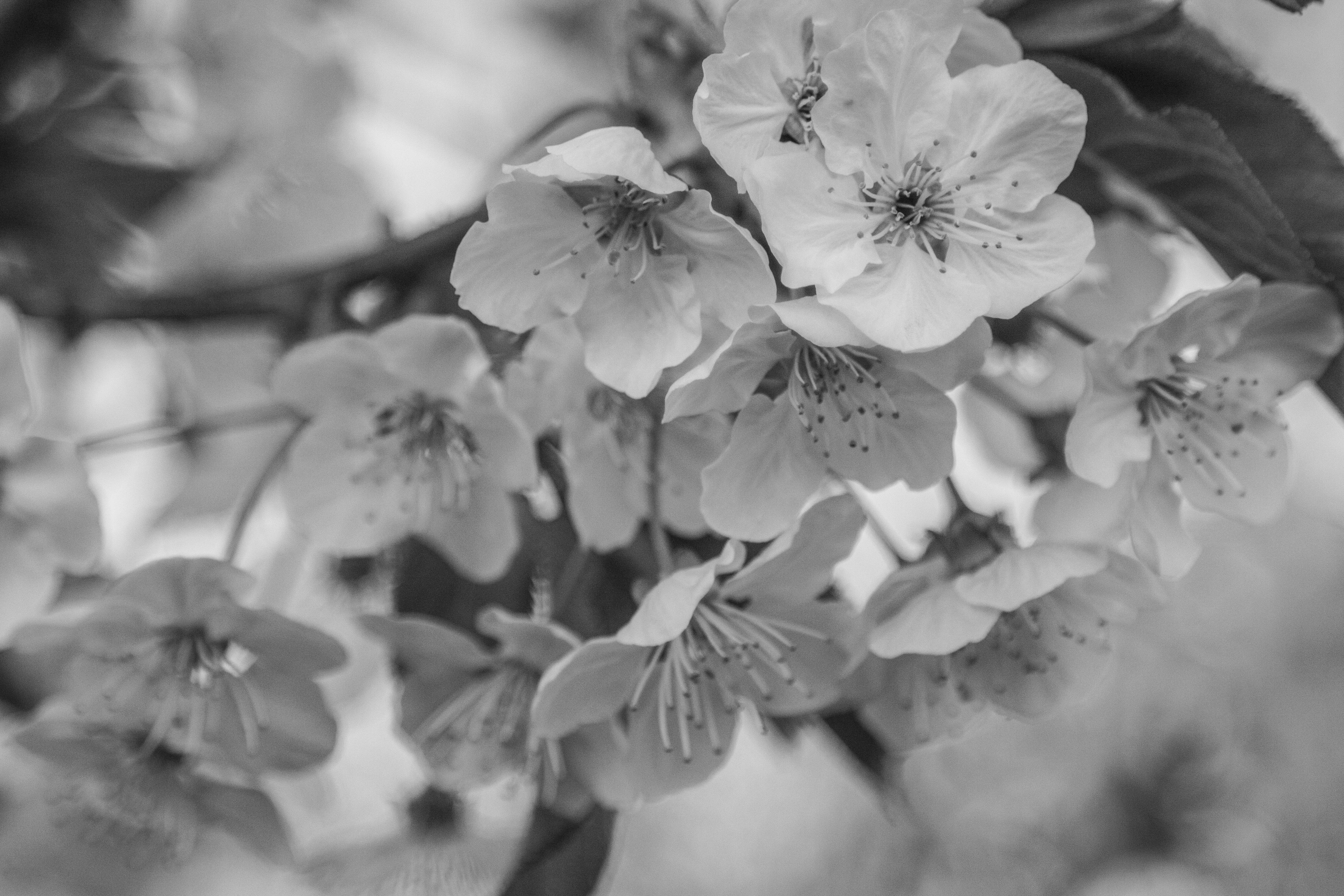 Download 600 Koleksi Gambar Bunga Sakura Hitam Putih HD Paling Keren