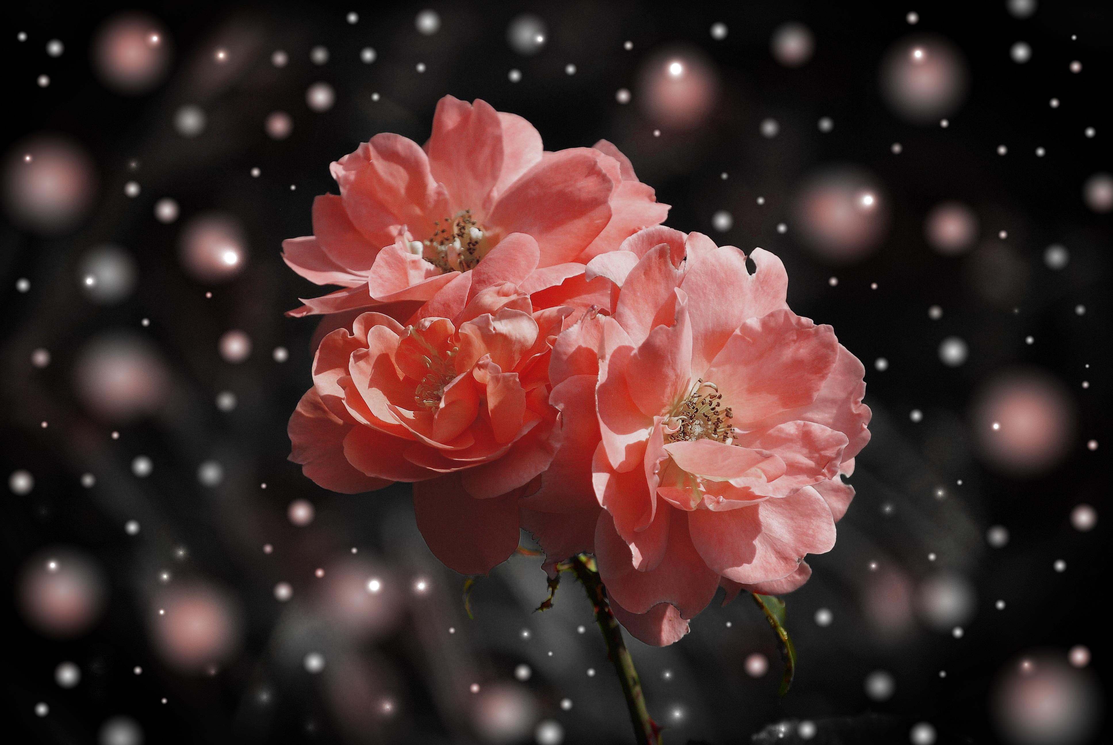 Free Branch Blossom Dew Flower Petal Rose Red