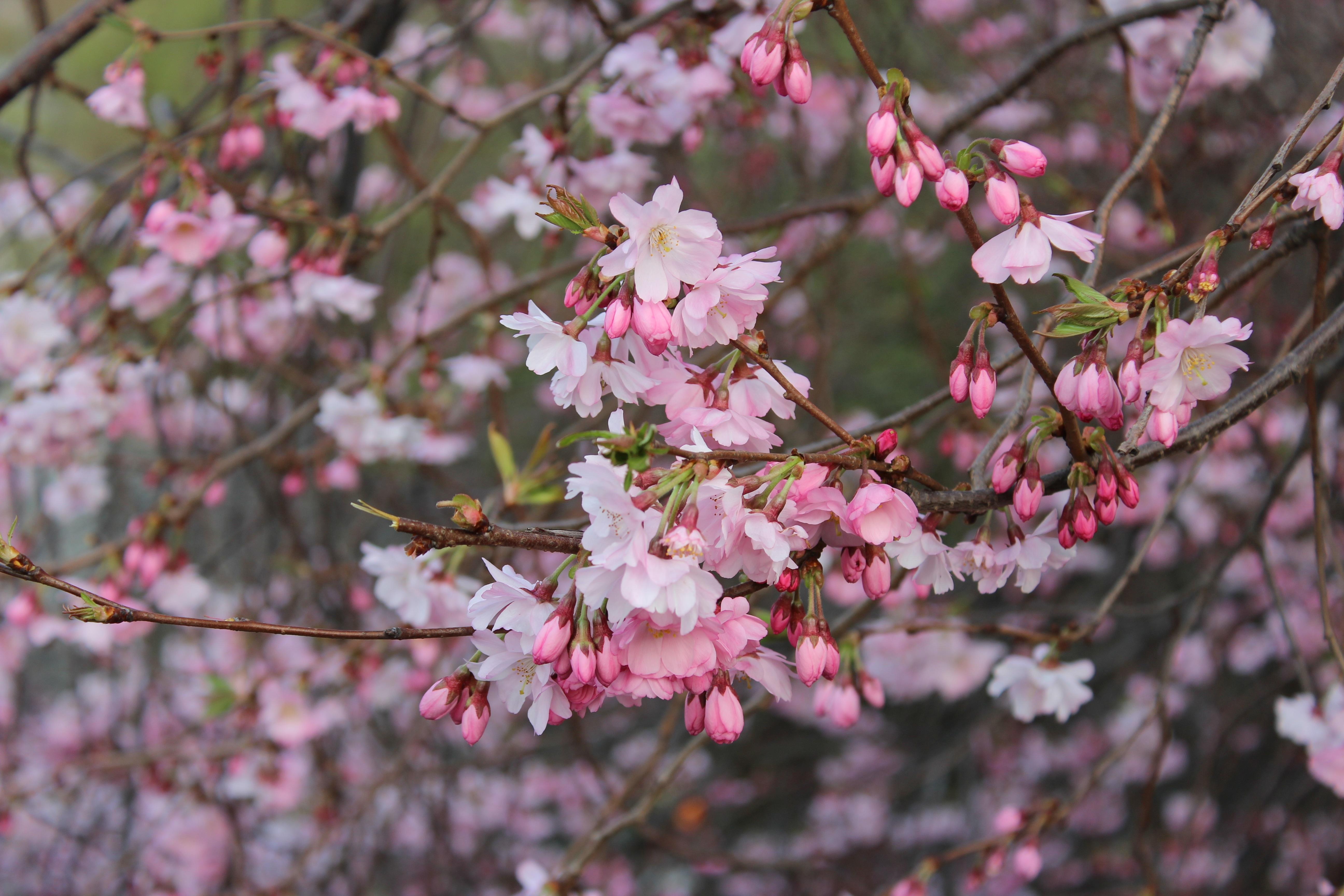 Free images branch flower petal bloom food produce japan branch blossom plant flower petal bloom food spring produce japan cherry blossom plants flowers trees london mightylinksfo