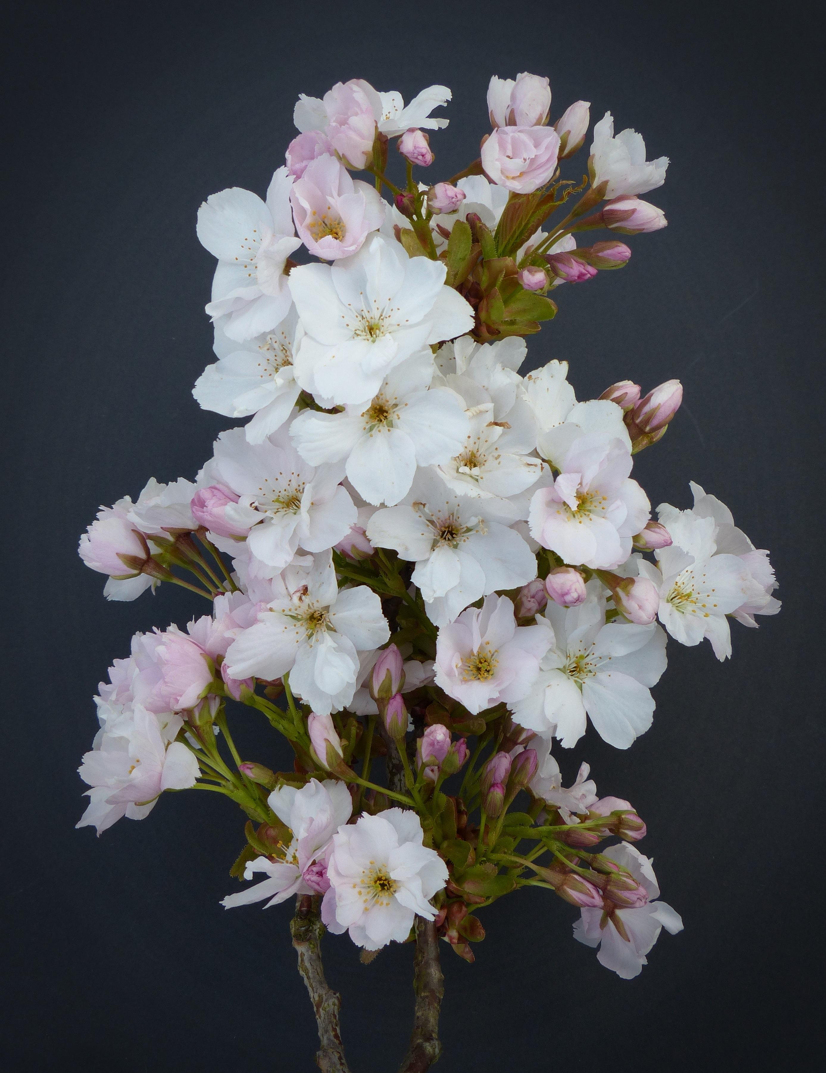 Fotos Gratis Rama Pétalo Florecer Primavera Botánica