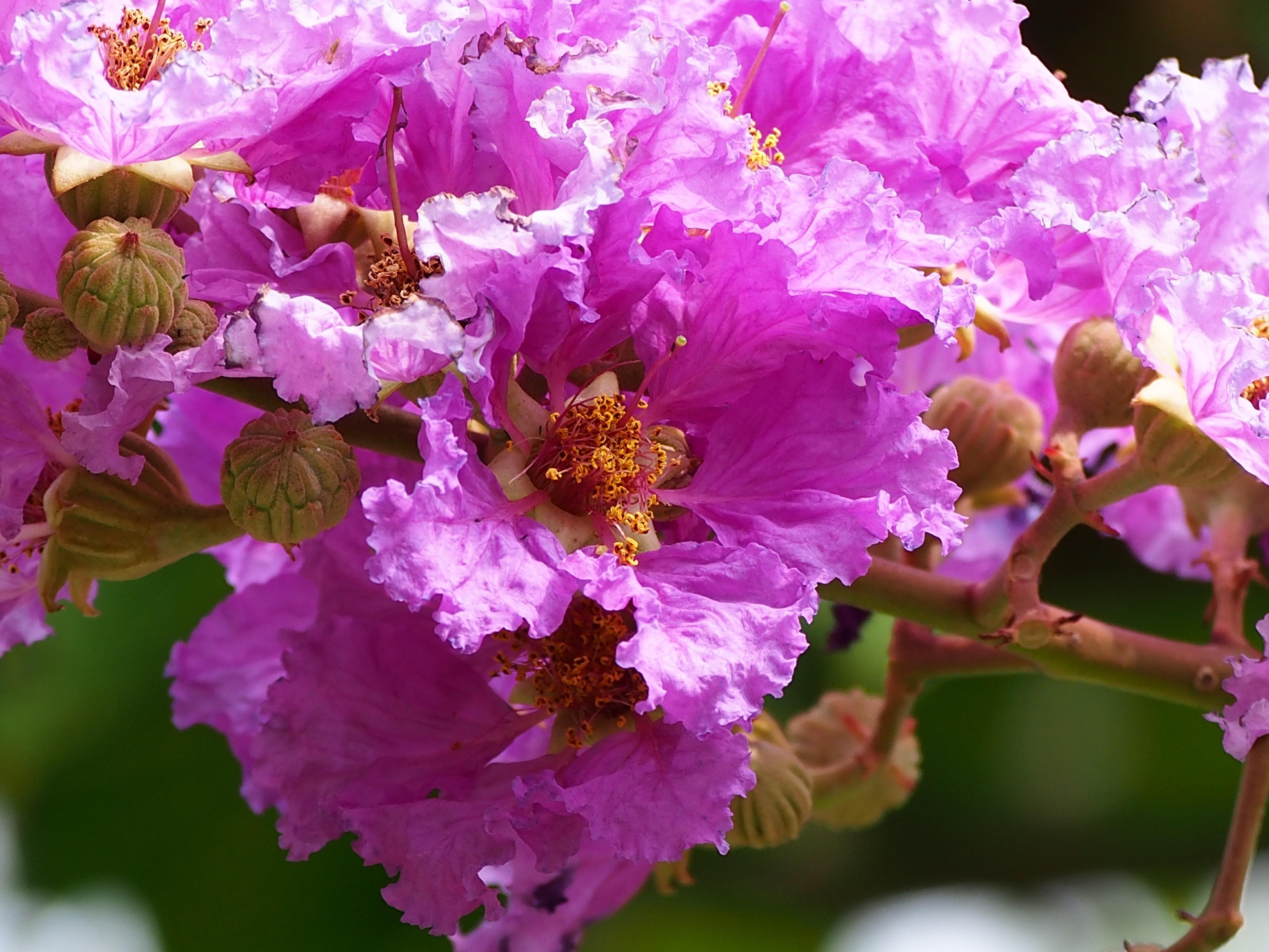 Gambar Cabang Mekar Menanam Daun Bunga Berwarna Merah Muda Flora Belukar Taipei Fotografi Makro Bunga Besar Tanaman Berbunga Kain Sutera Murad Pink Dan Ungu Kayu Tanaman Tanaman Tanah 4608x3456
