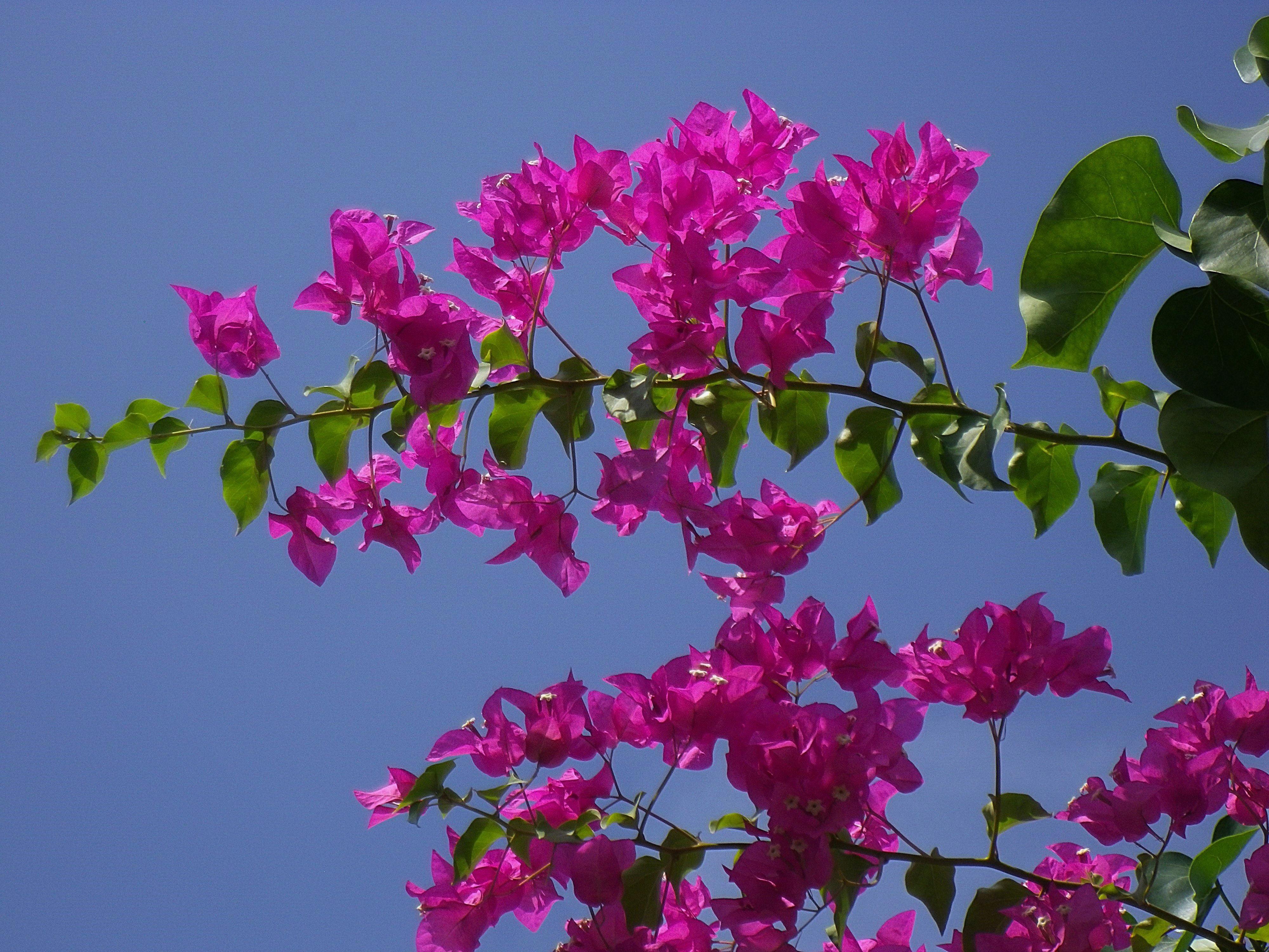Bougainville Fleur dedans images gratuites : branche, fleur, pétale, botanique, flore
