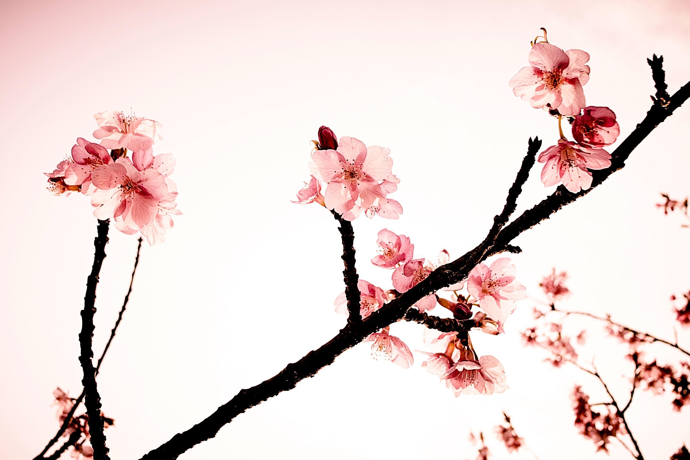 цветок картинки ветвь сакуры облачилась