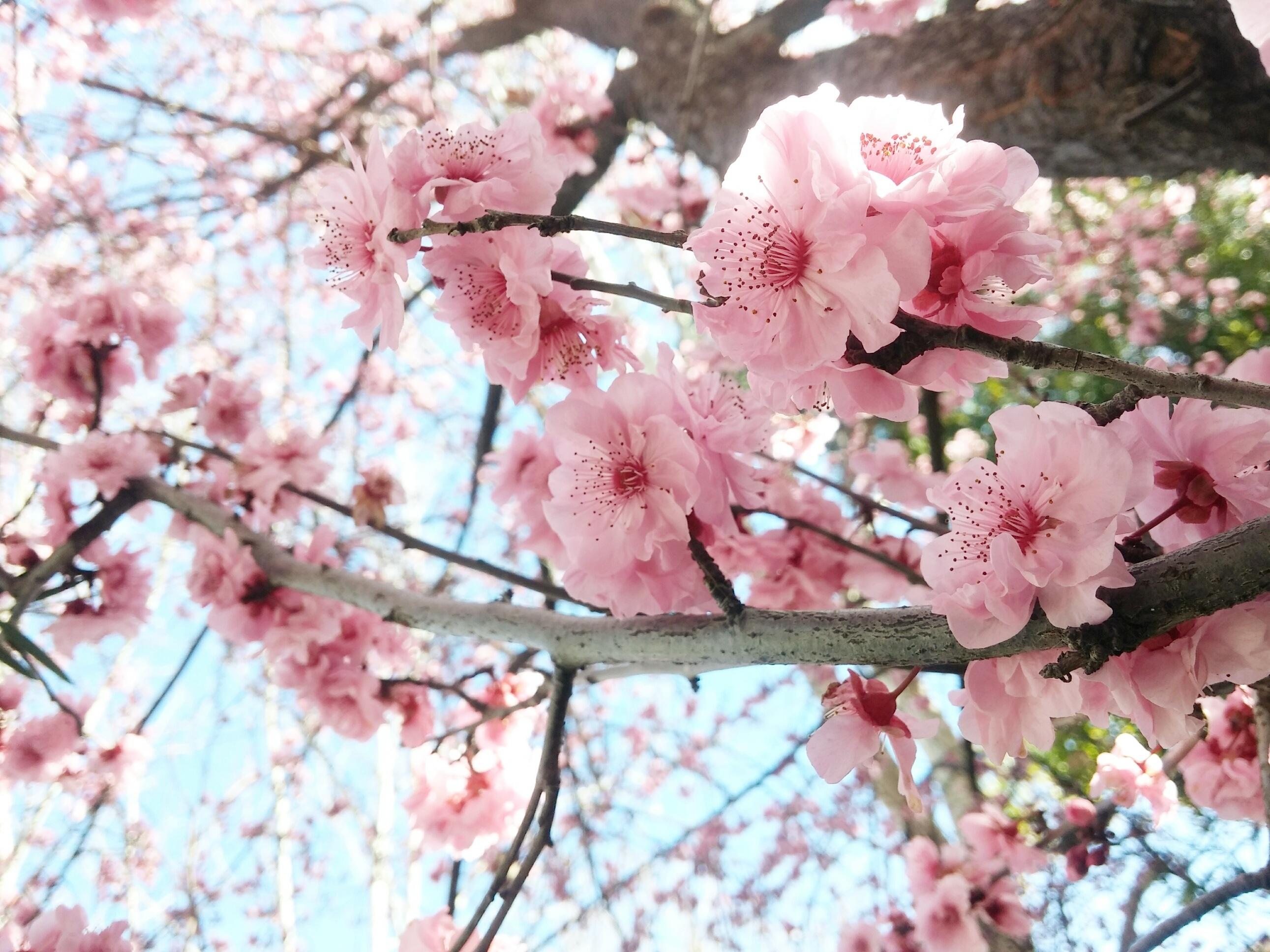images gratuites branche p tale printemps produire panouissement rose fleur de cerisier. Black Bedroom Furniture Sets. Home Design Ideas