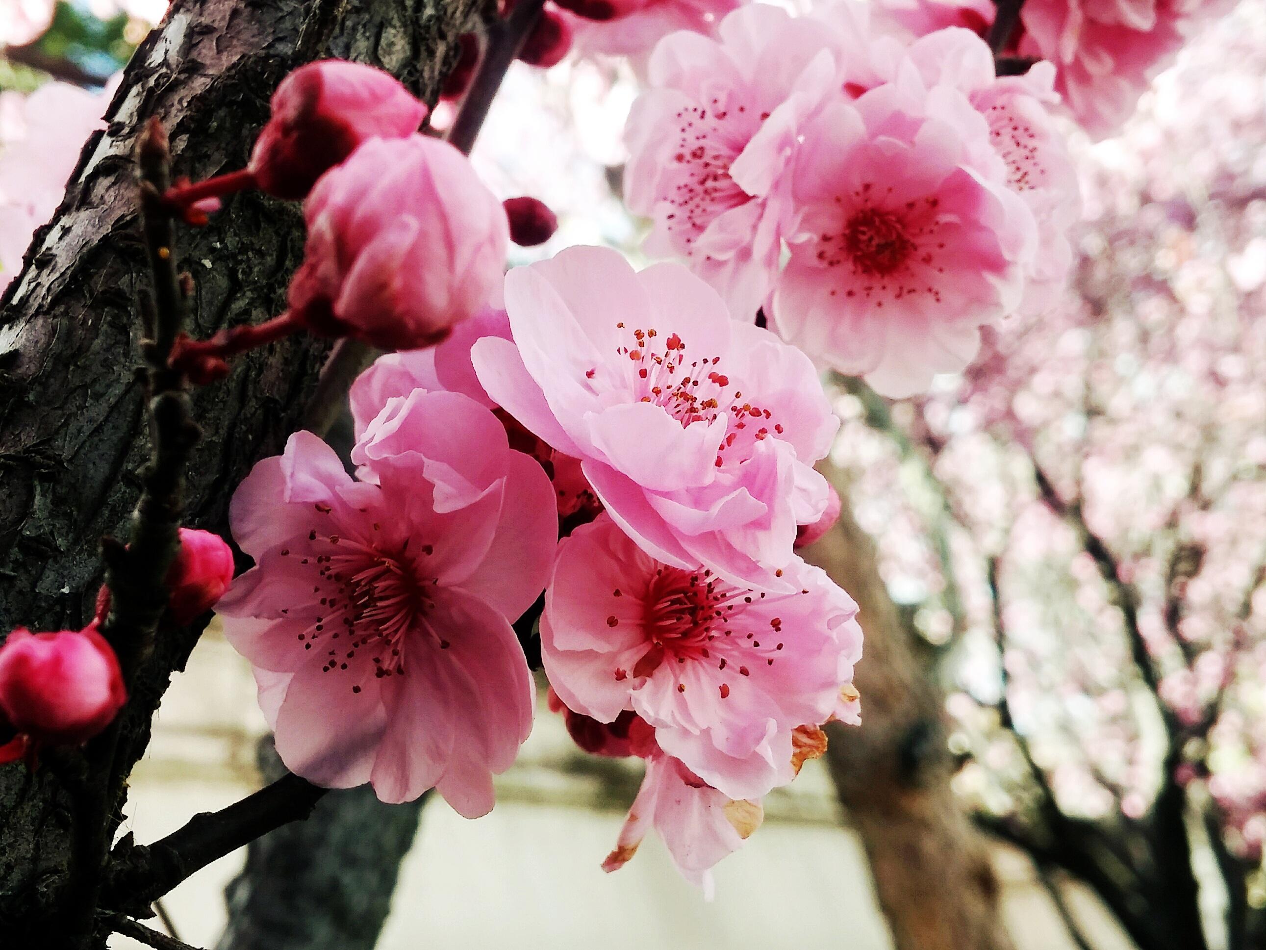Фото с цветущими вишнями посадке