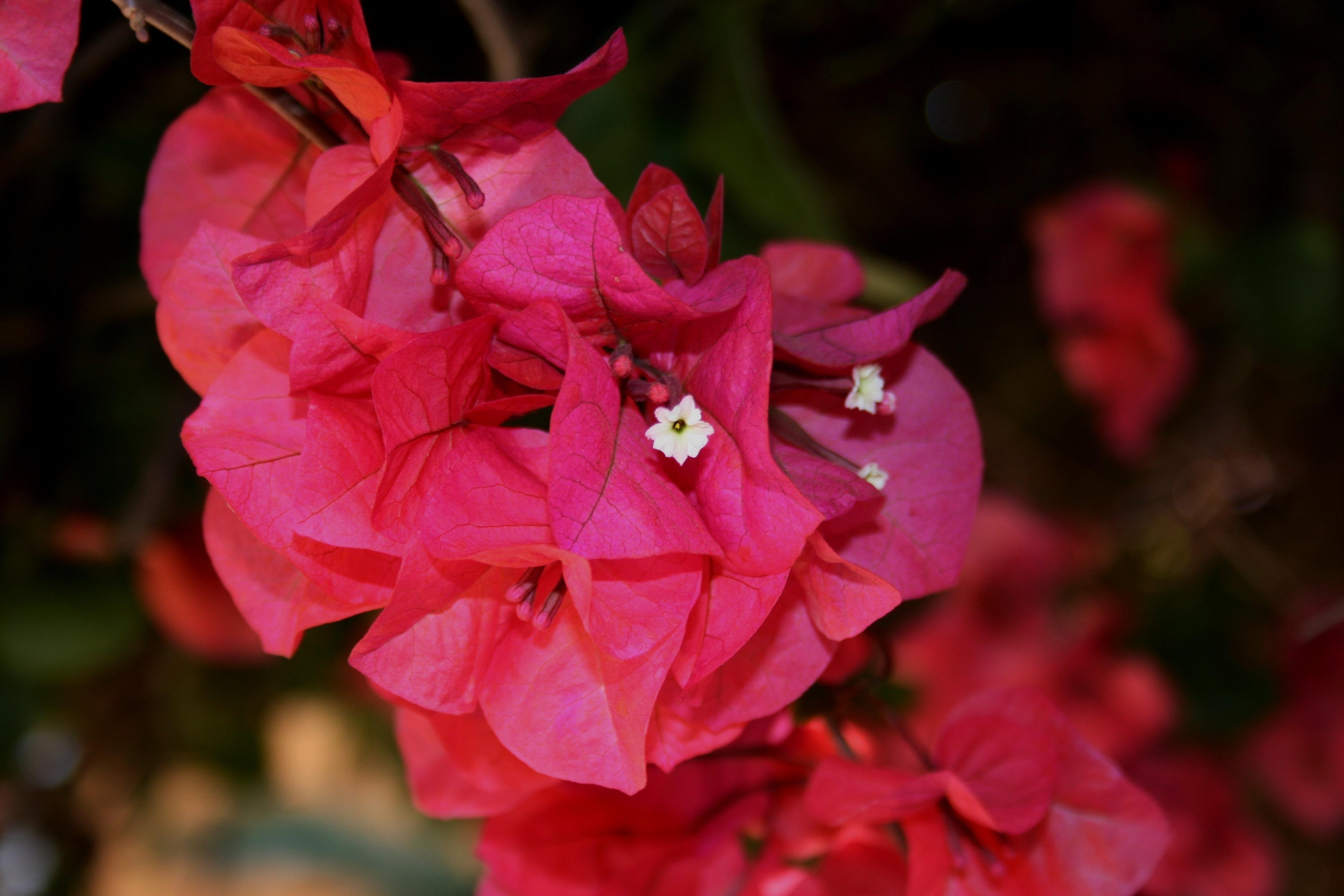 Free Images Branch Blossom Flower Petal Summer Spring Red