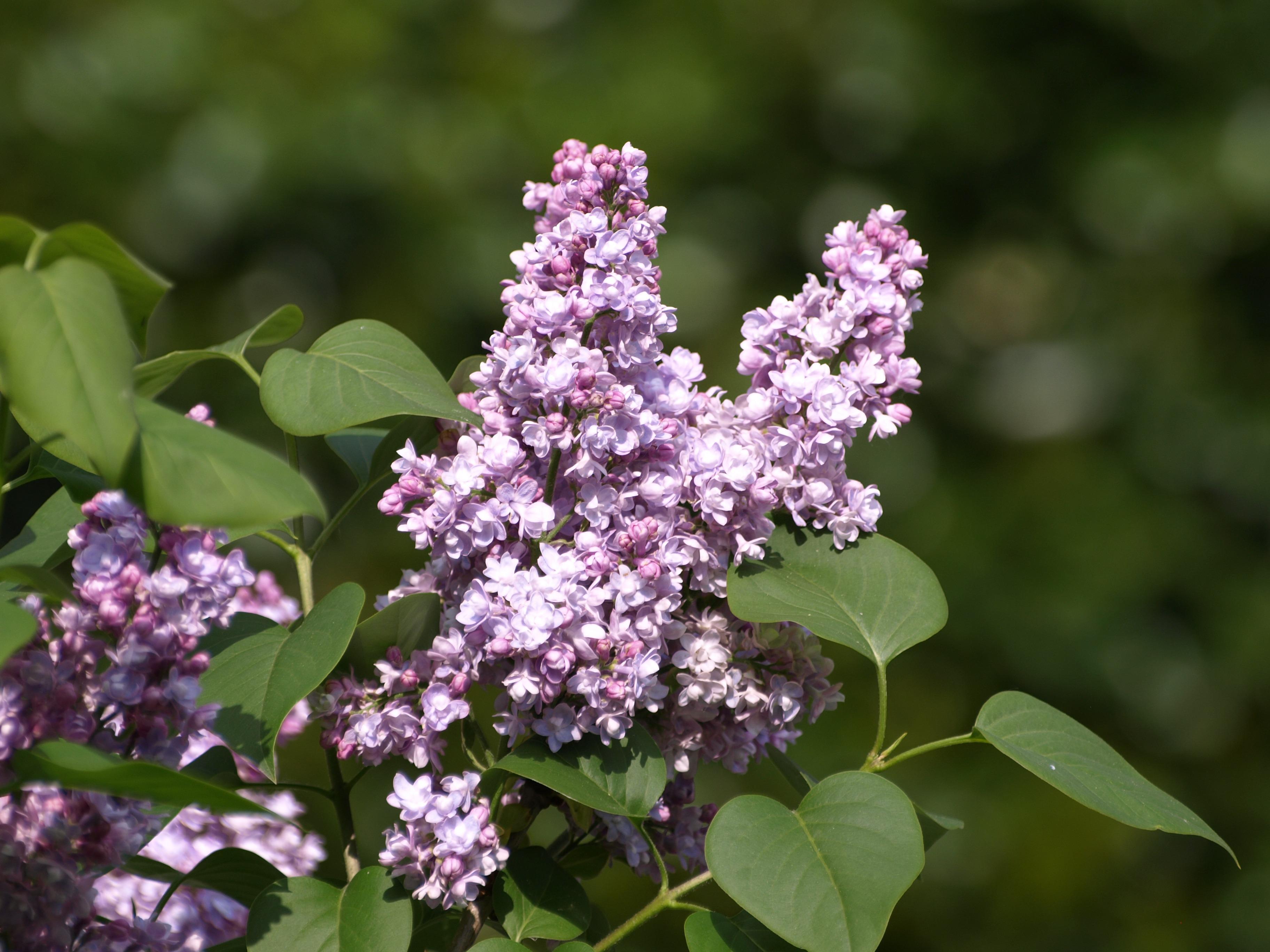 ramo flor plantar flor roxa erva botnica flora flores silvestres flores arbusto lils flor lils planta