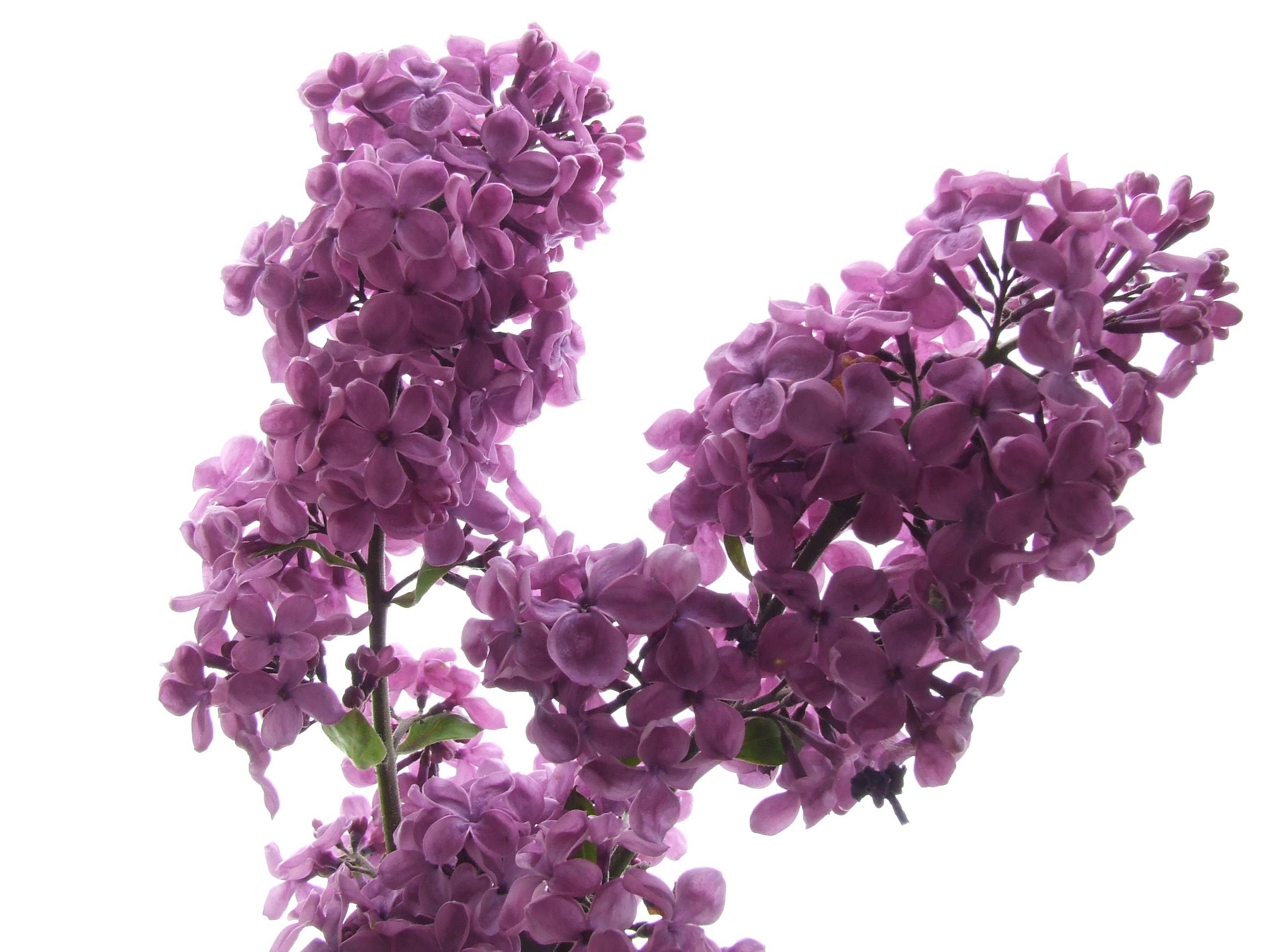 รูปภาพ : ปลูก, สีม่วง, กลีบดอกไม้, เบ่งบาน, ไม้พุ่ม, หอม, พืชดอก,  สาขาไลแลค, โรงงานที่ดิน, ภาษาอังกฤษลาเวนเดอร์, fllieder 2592x1944 - -  969674 - ภาพ สวย ๆ - PxHere