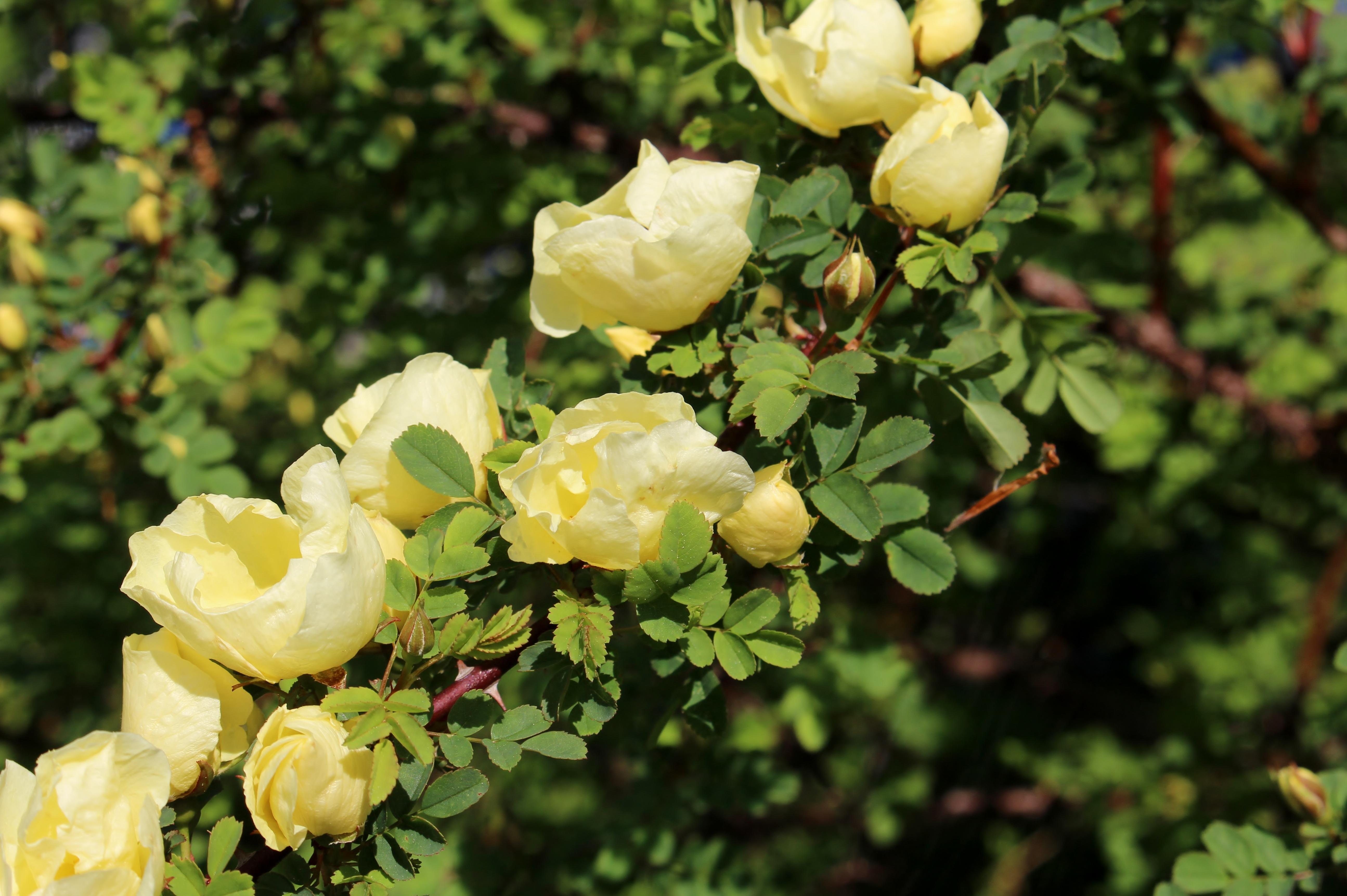 любом шиповник желтый фото дамасской розой, алой